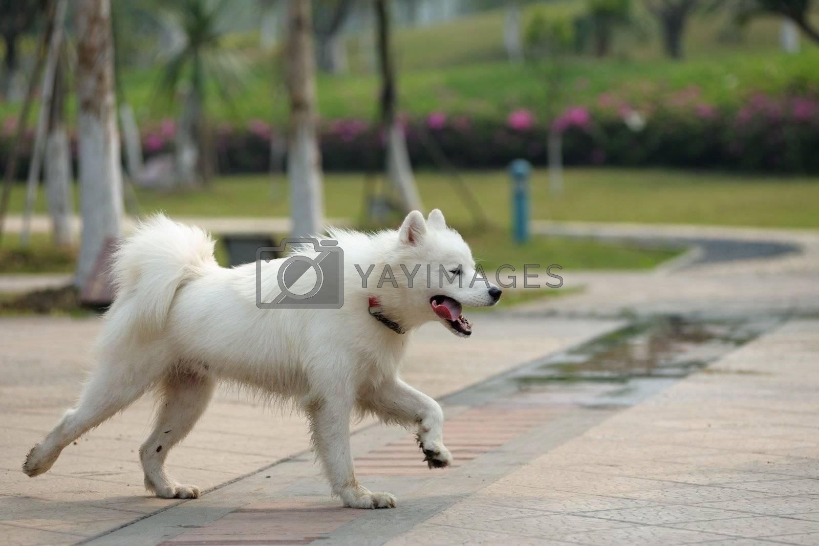 A happy samoyed dog running on the ground