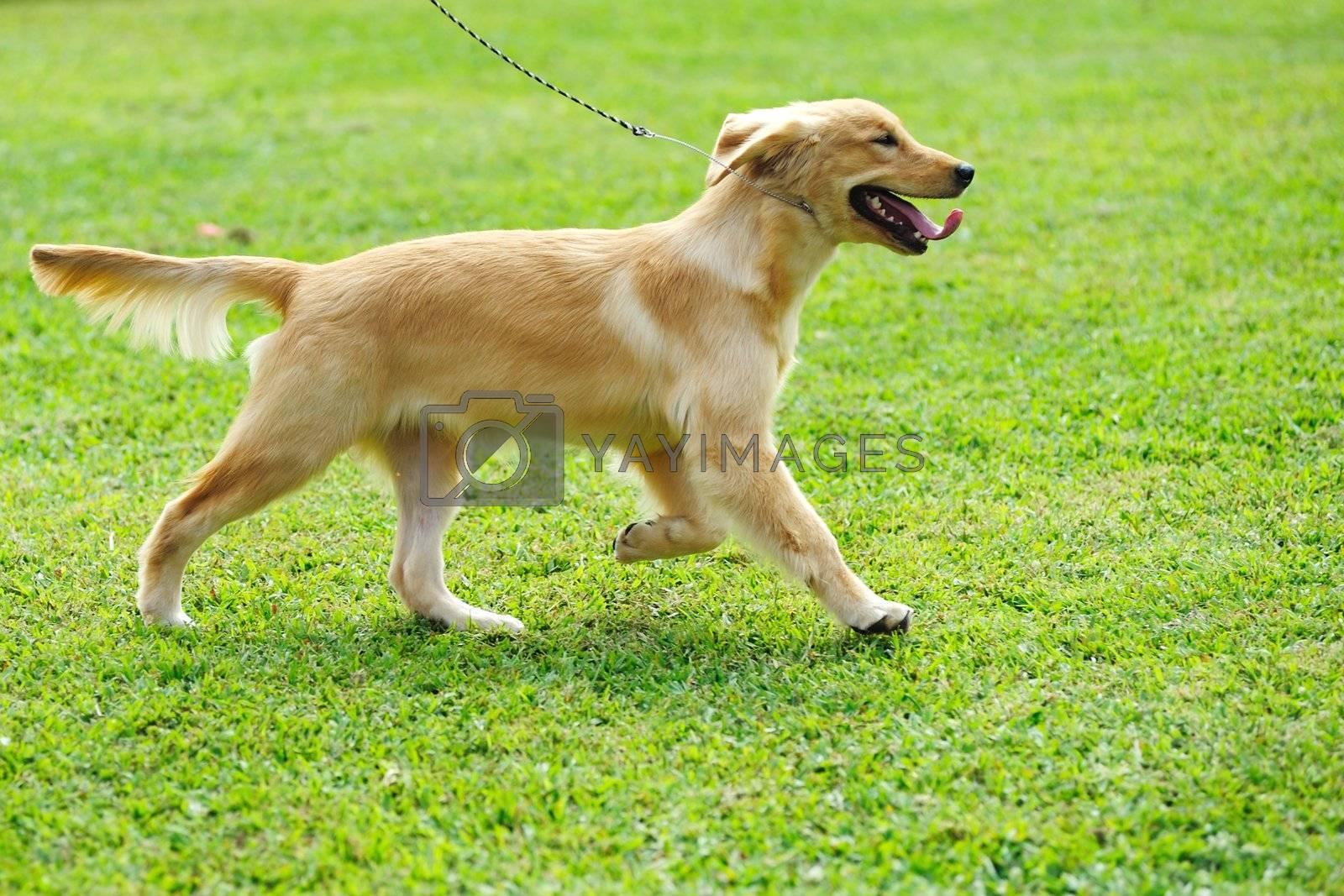 Little golden retriever dog running