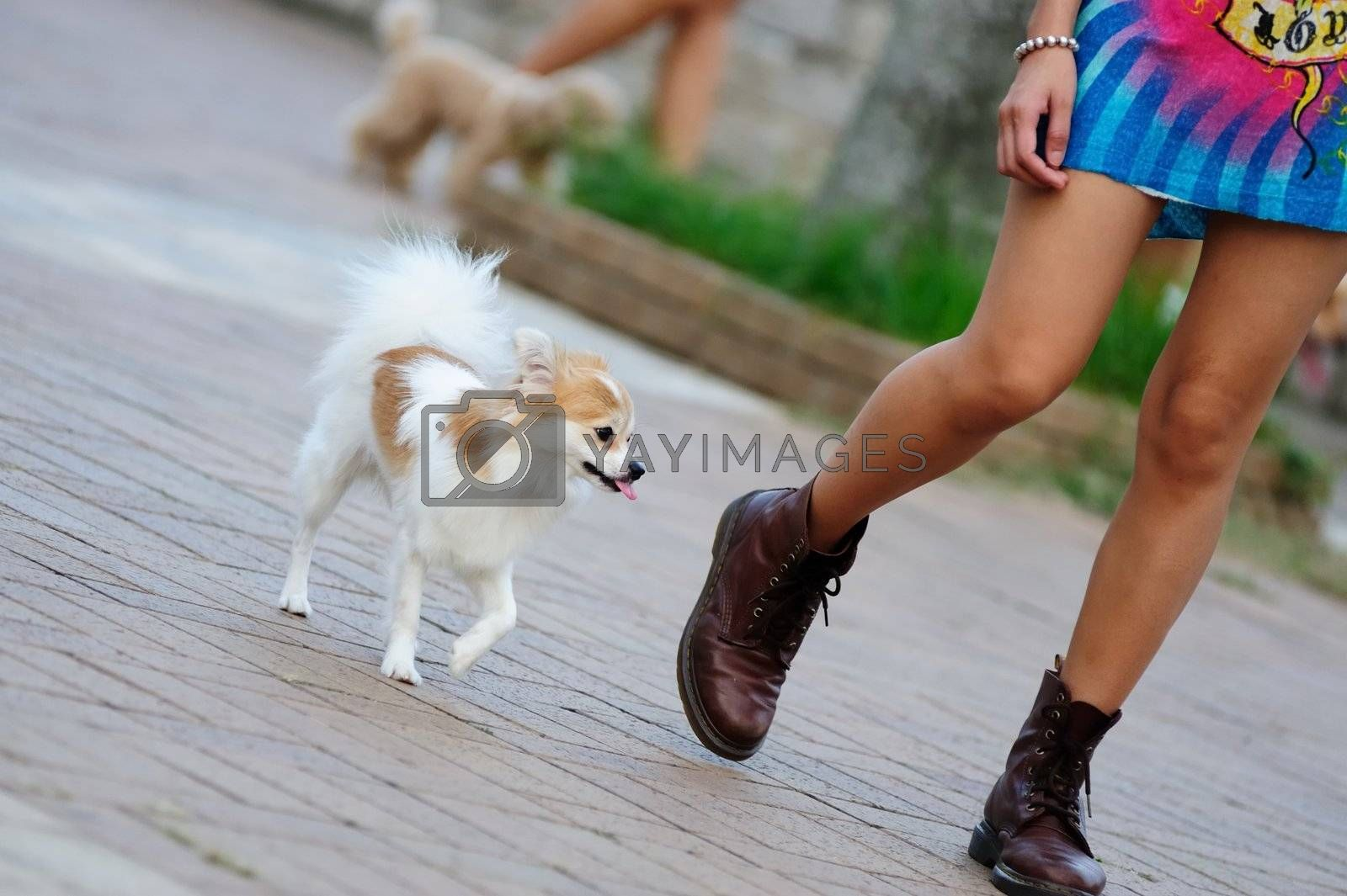 Papillon dog walking with its master