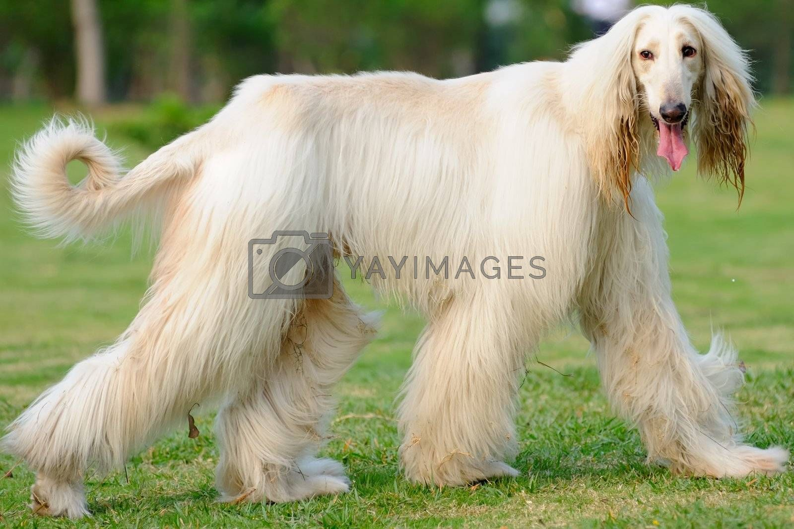 An afghan hound dog walking on the lawn