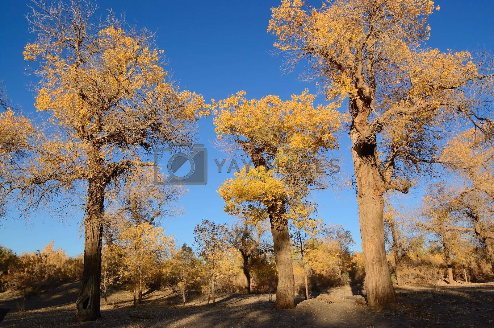 Trees of diversifolia populus in North China