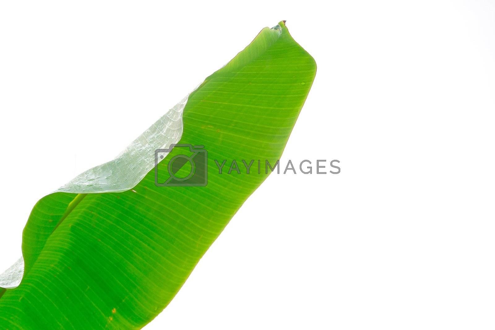 Fresh banana leaf isolated against white background