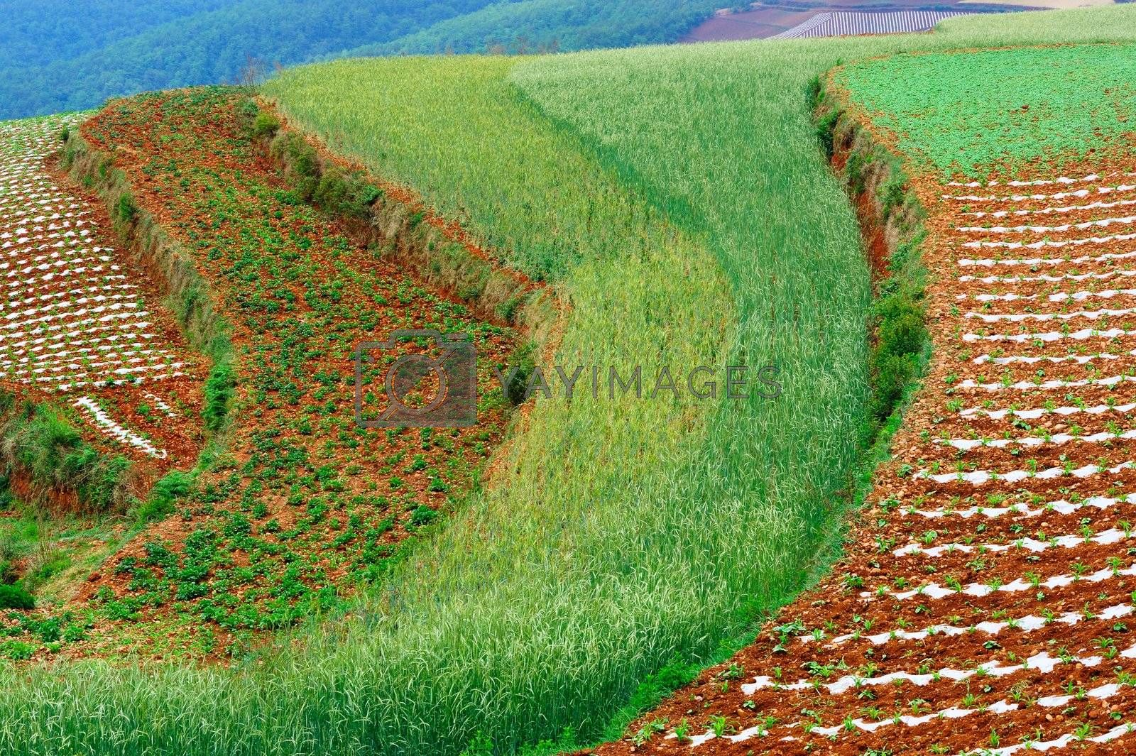 Wheat field landscape in Dongchuan district, Kunming city, Yunnan province of China