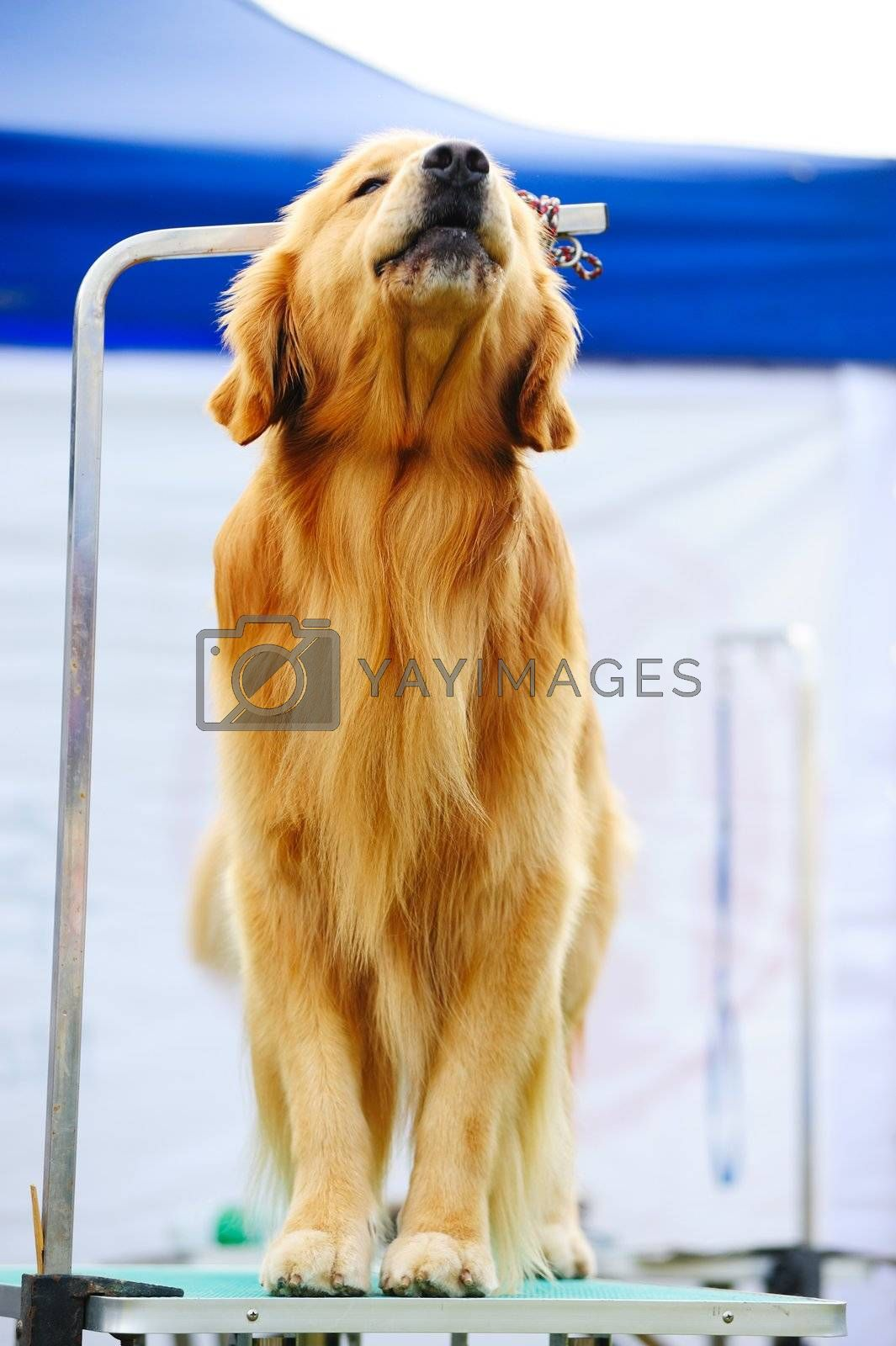 Golden retriever dog standing on the table