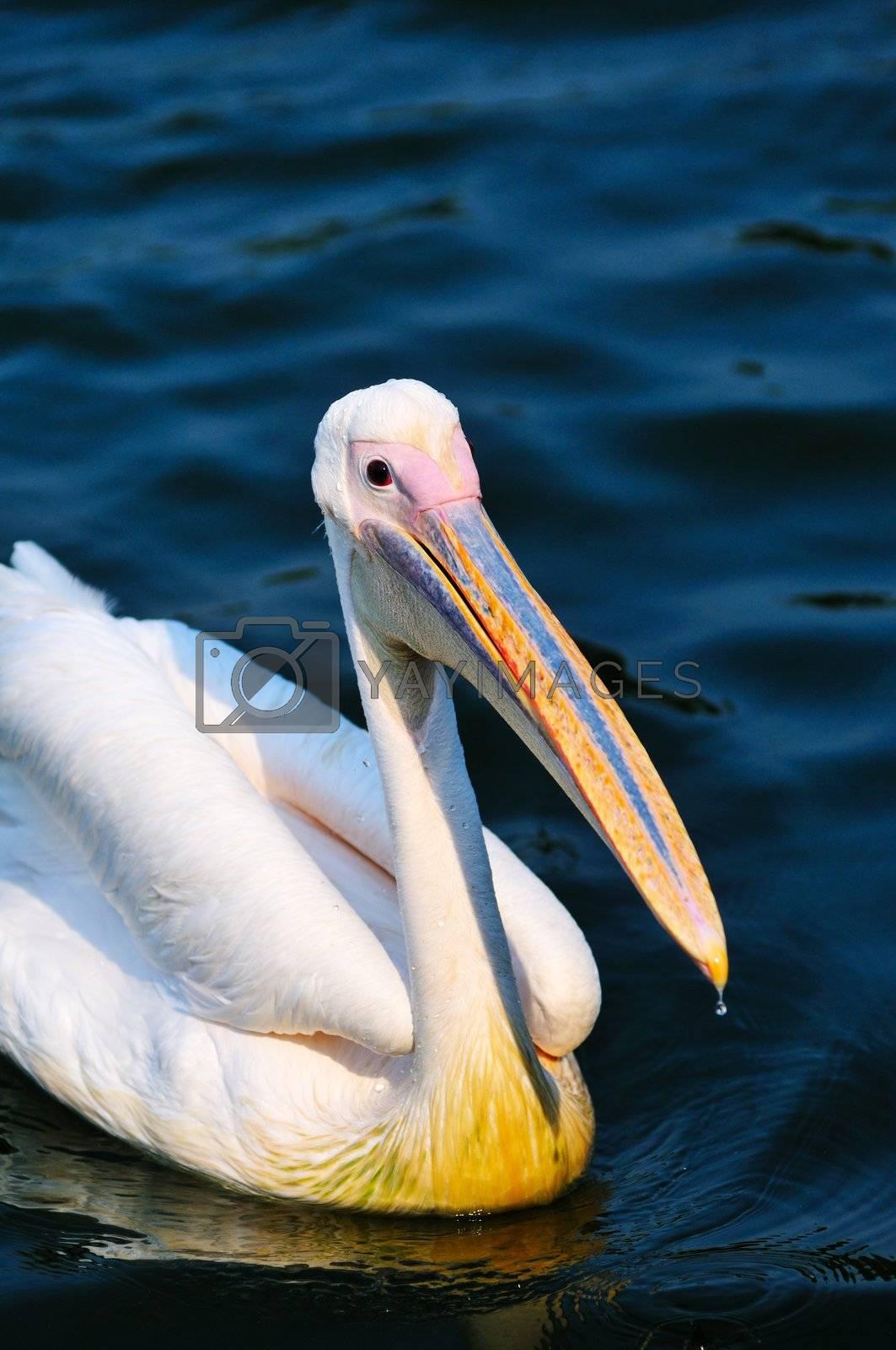 Pelican bird swimming in the lake