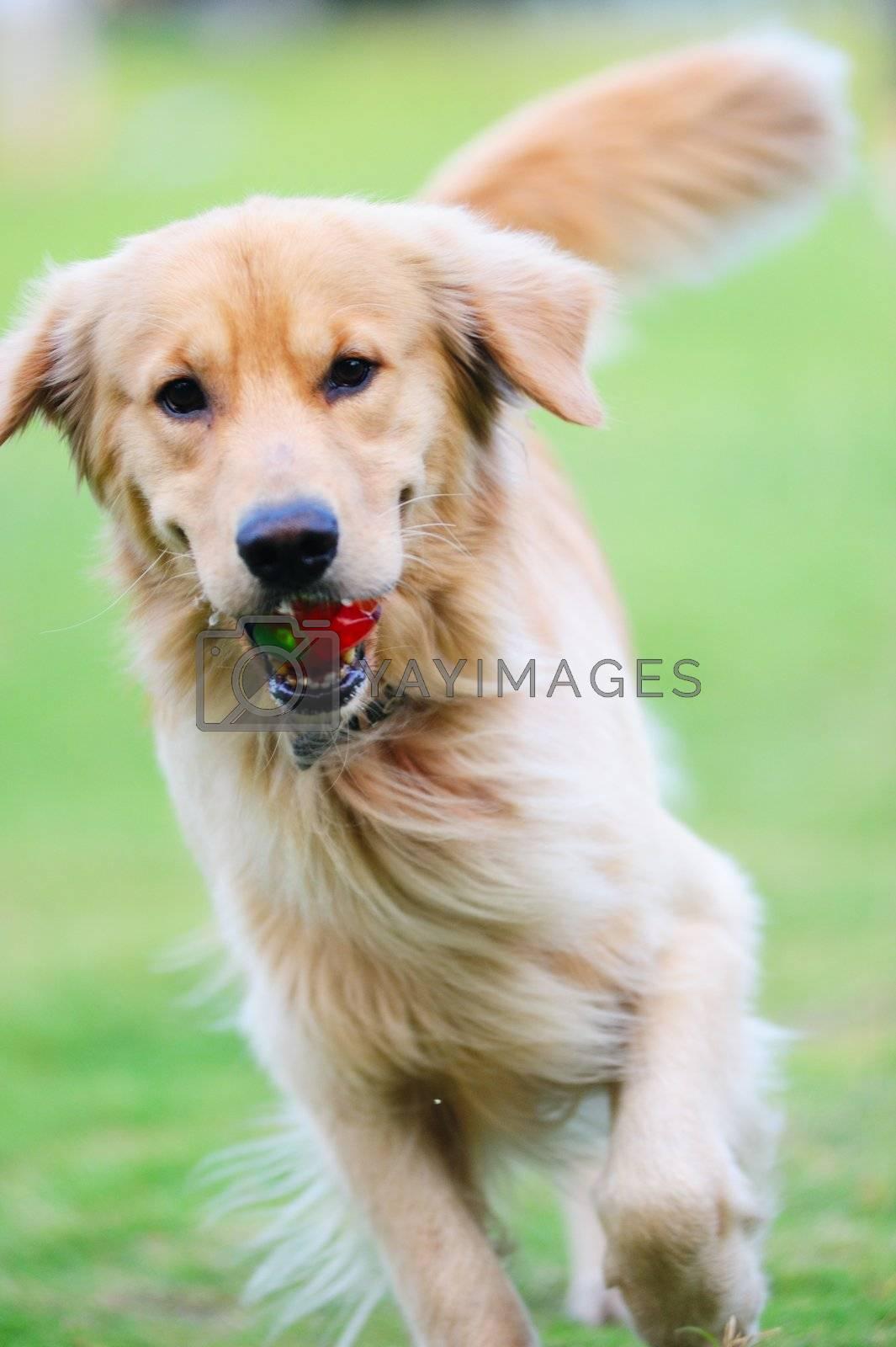 Golden retriever dog running on the lawn