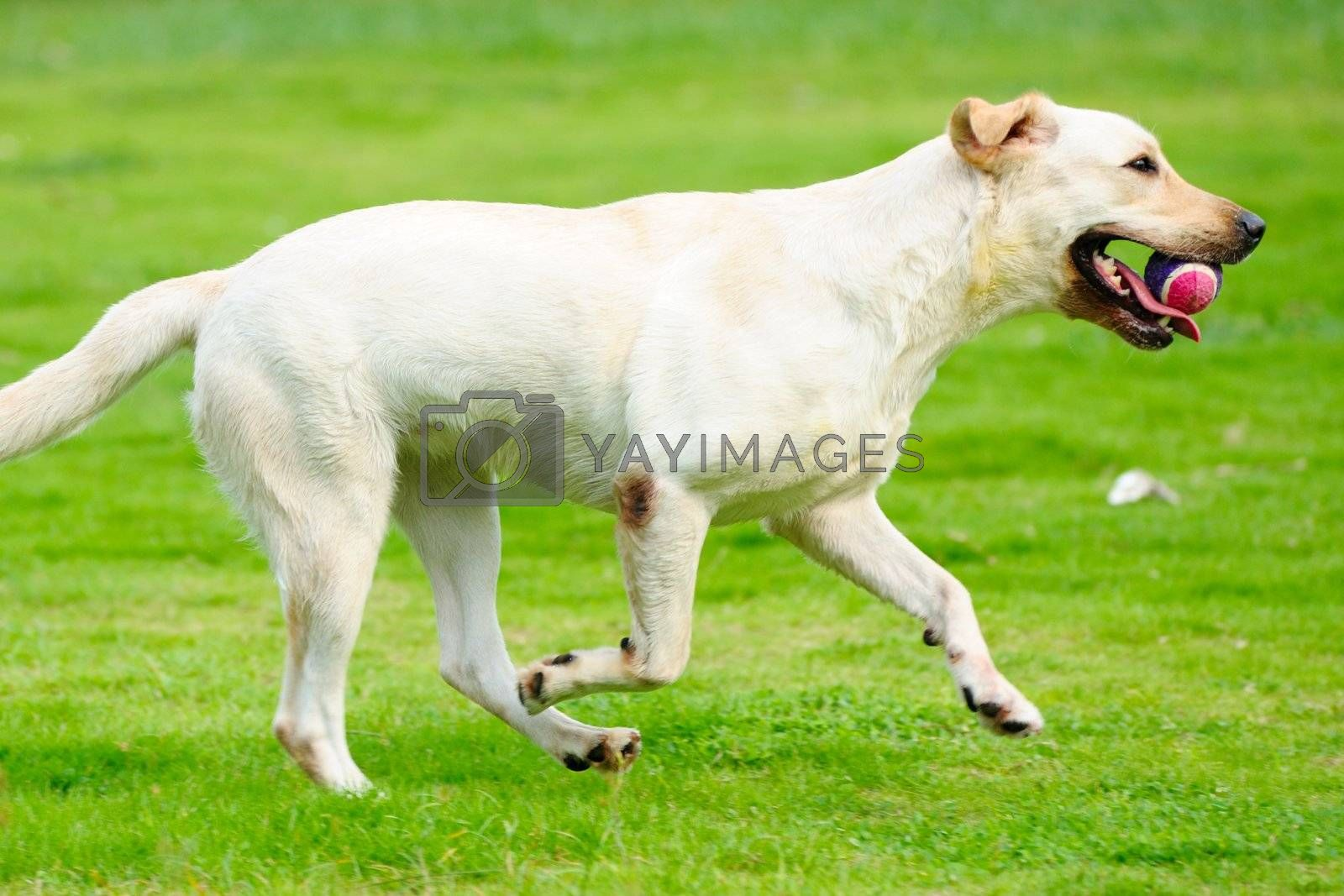 White labrador dog holding a ball and running on the lawn
