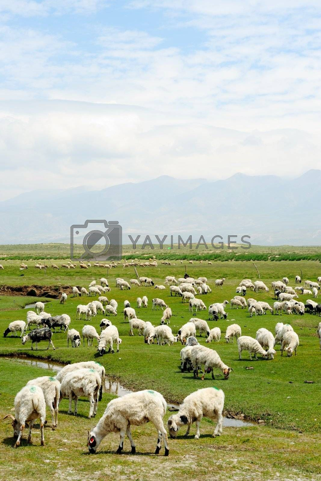 Goats grazing in the grassland in qinghai province, China