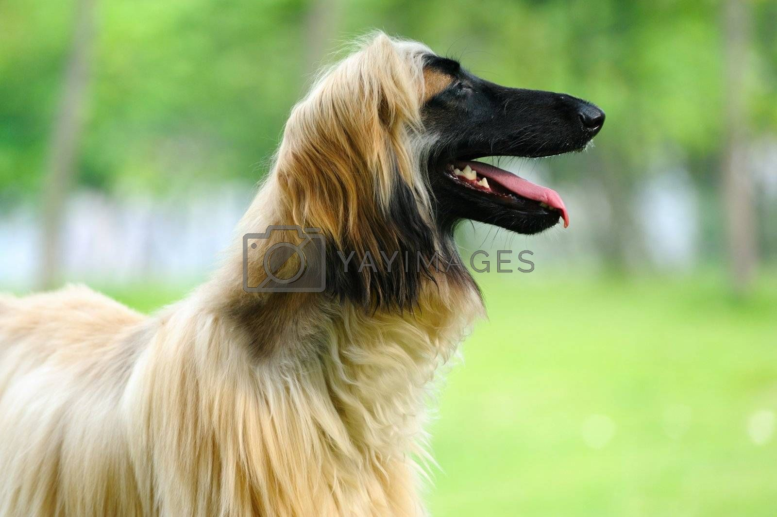 An afghan hound dog standing on the lawn