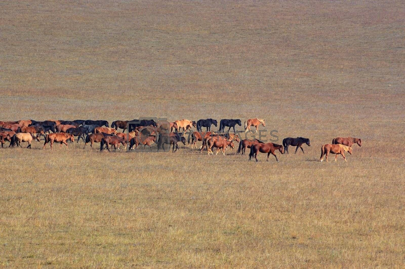 Group of horses in Bashang grassland, Hebei, China
