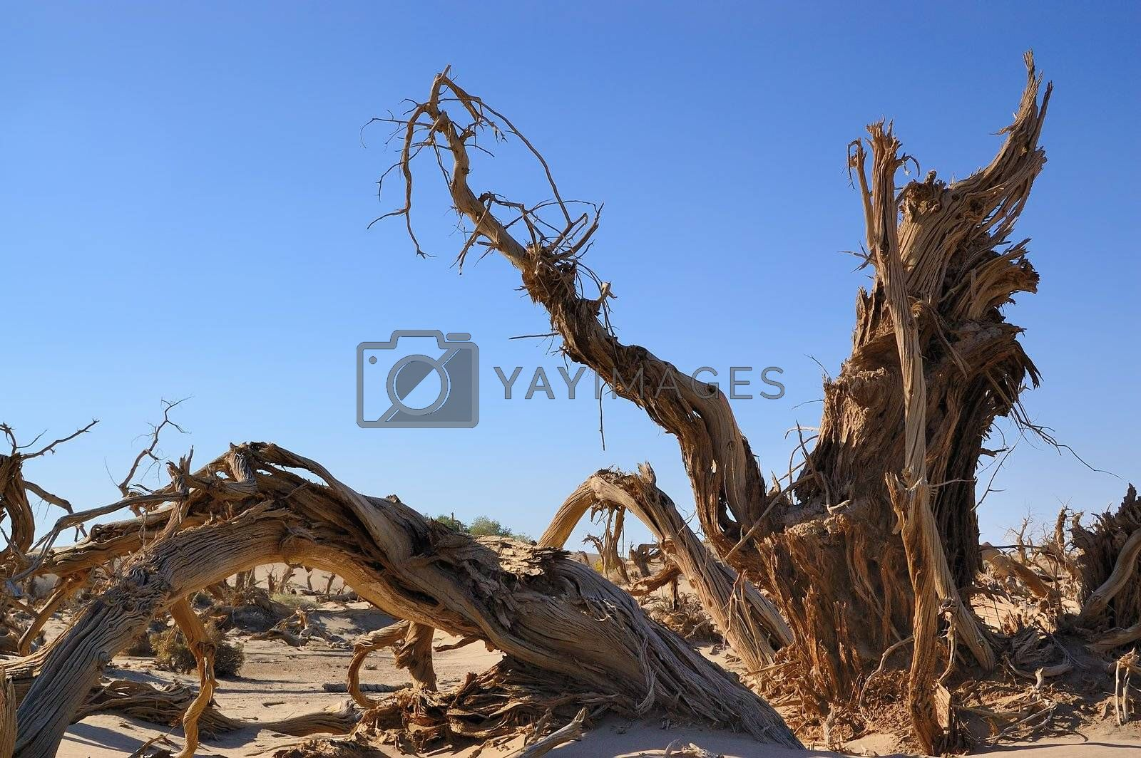 Dead tree of diversifolia populus in the desert of China
