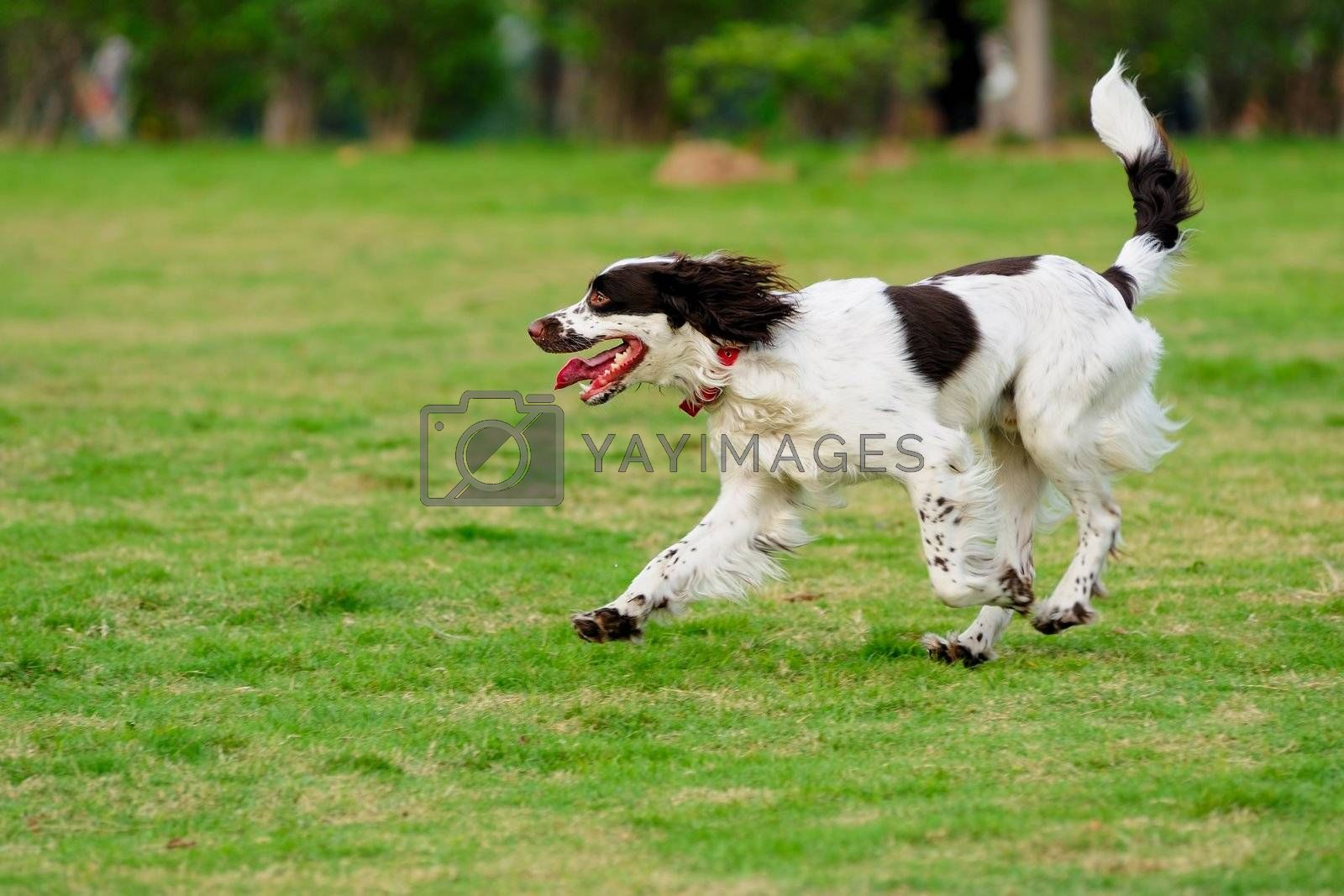 Springer dog running on the lawn
