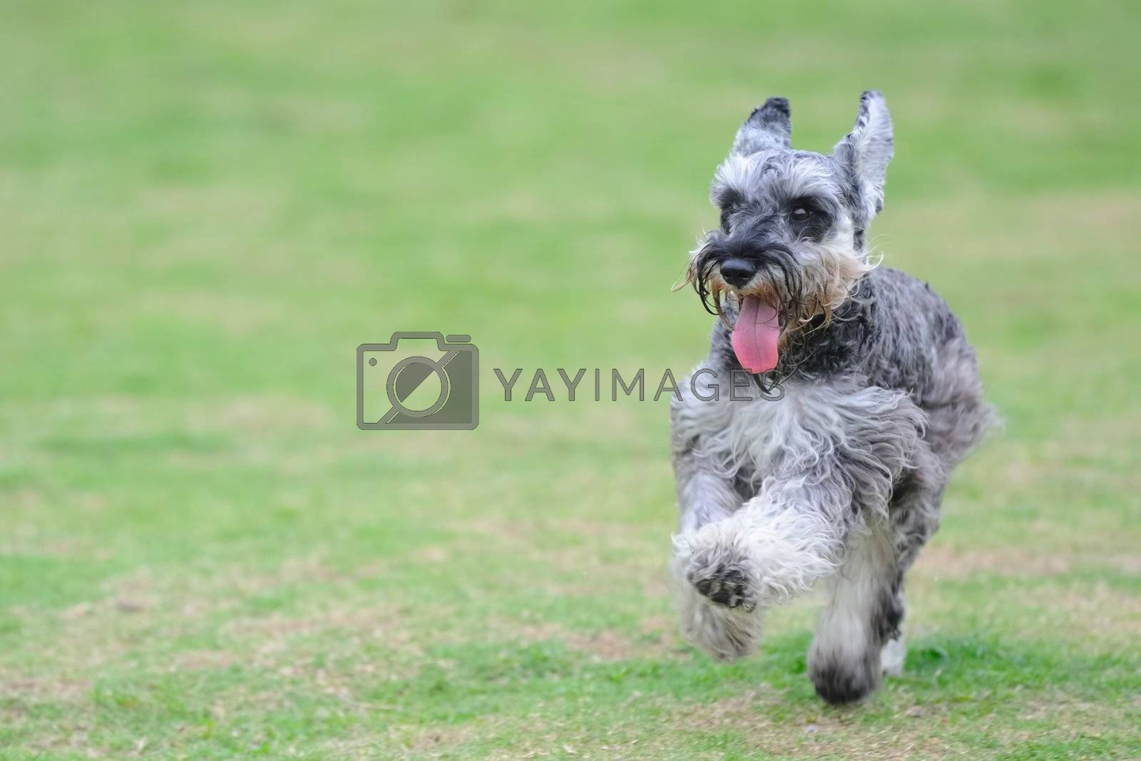 A miniature schnauzer dog running on the lawn