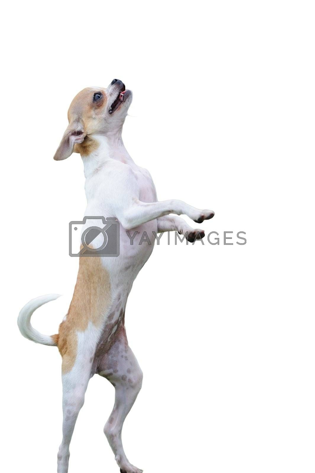 Chihuahua dog standing on two legs isolated on white background