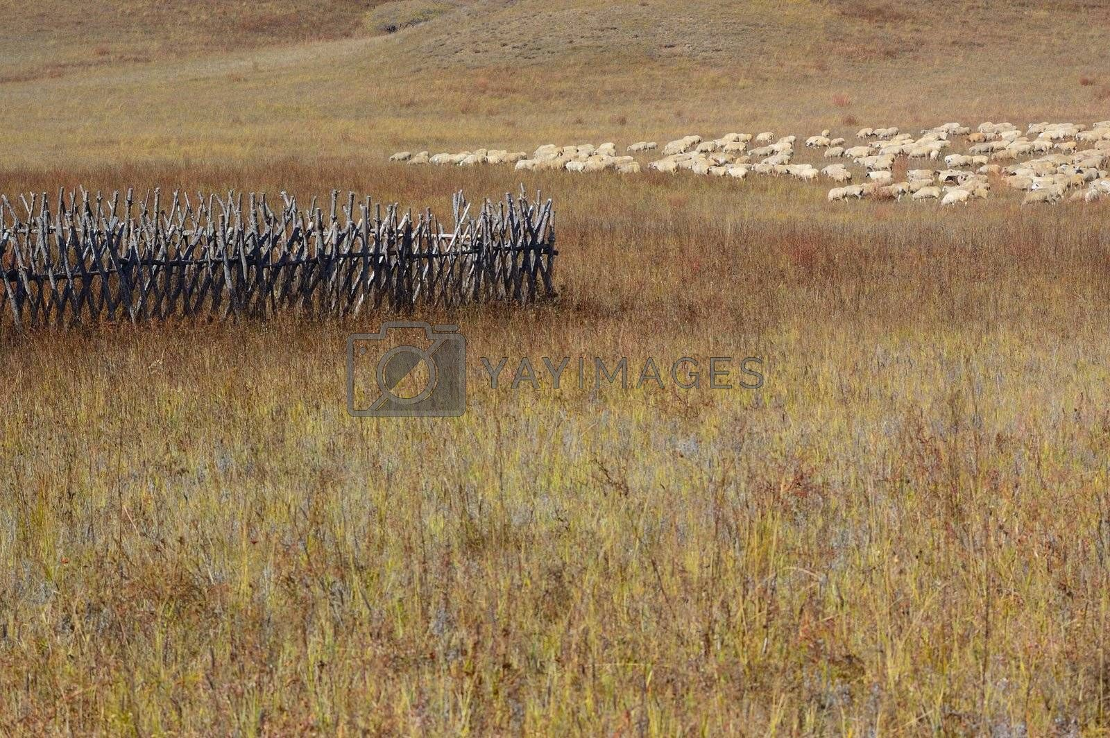 Group of sheep in Bashang grassland, Hebei, China