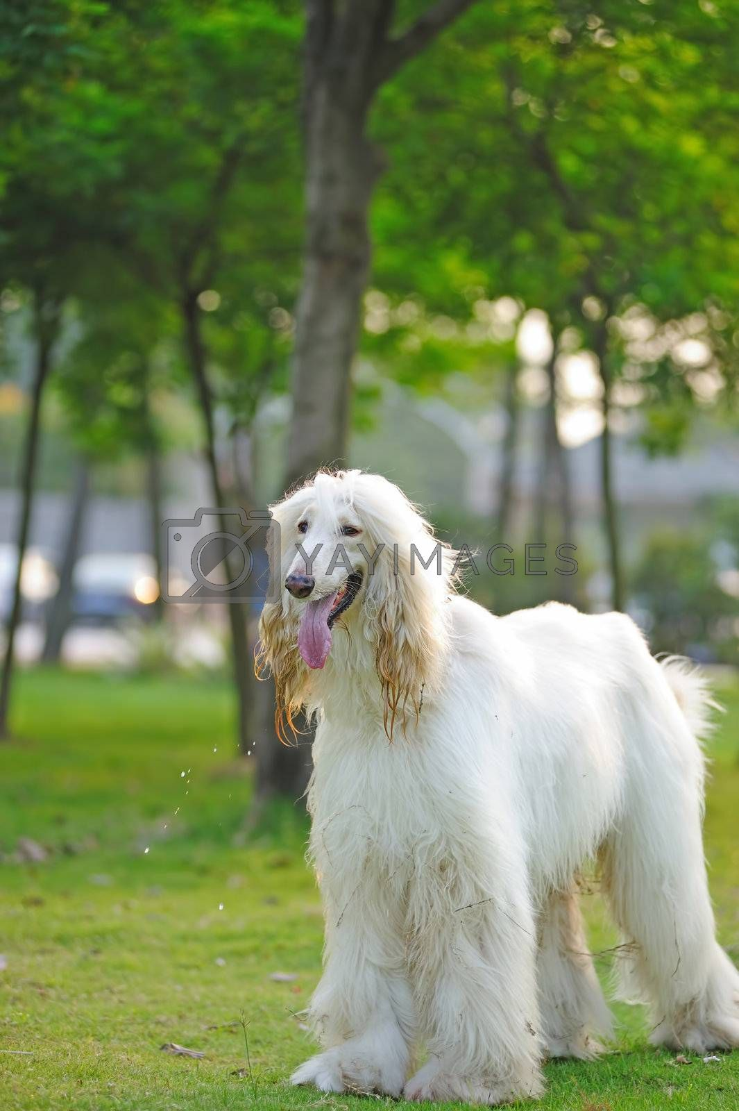 White afghan hound dog standing on the lawn
