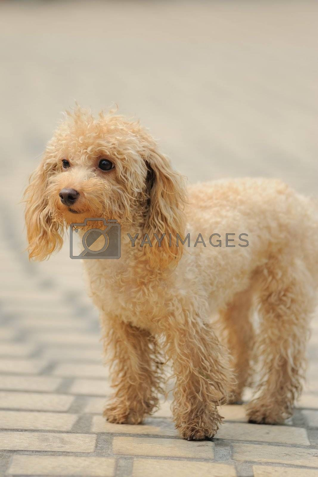 A little toy poodle  dog standing on the ground