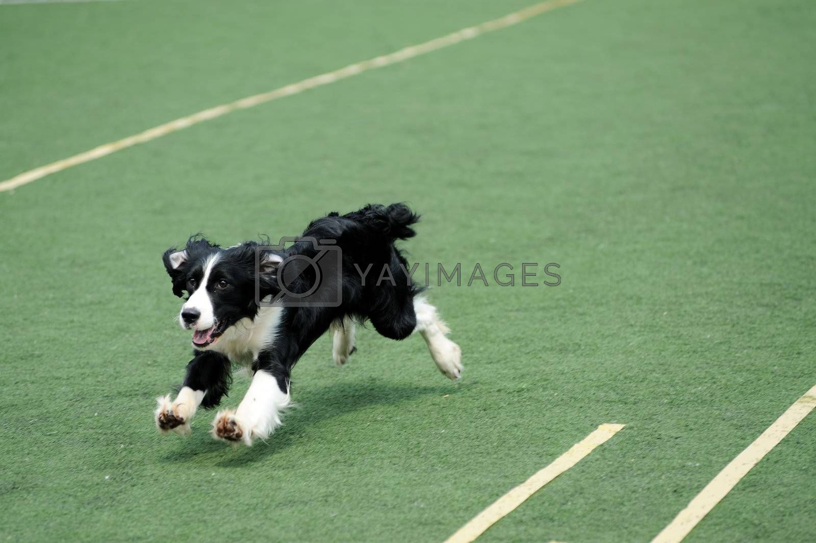 Border Collie running on the playground