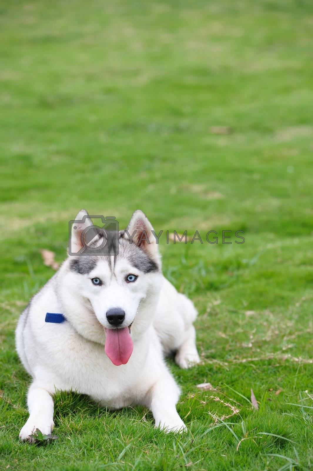 Alaskan Malamute dog lying on the lawn