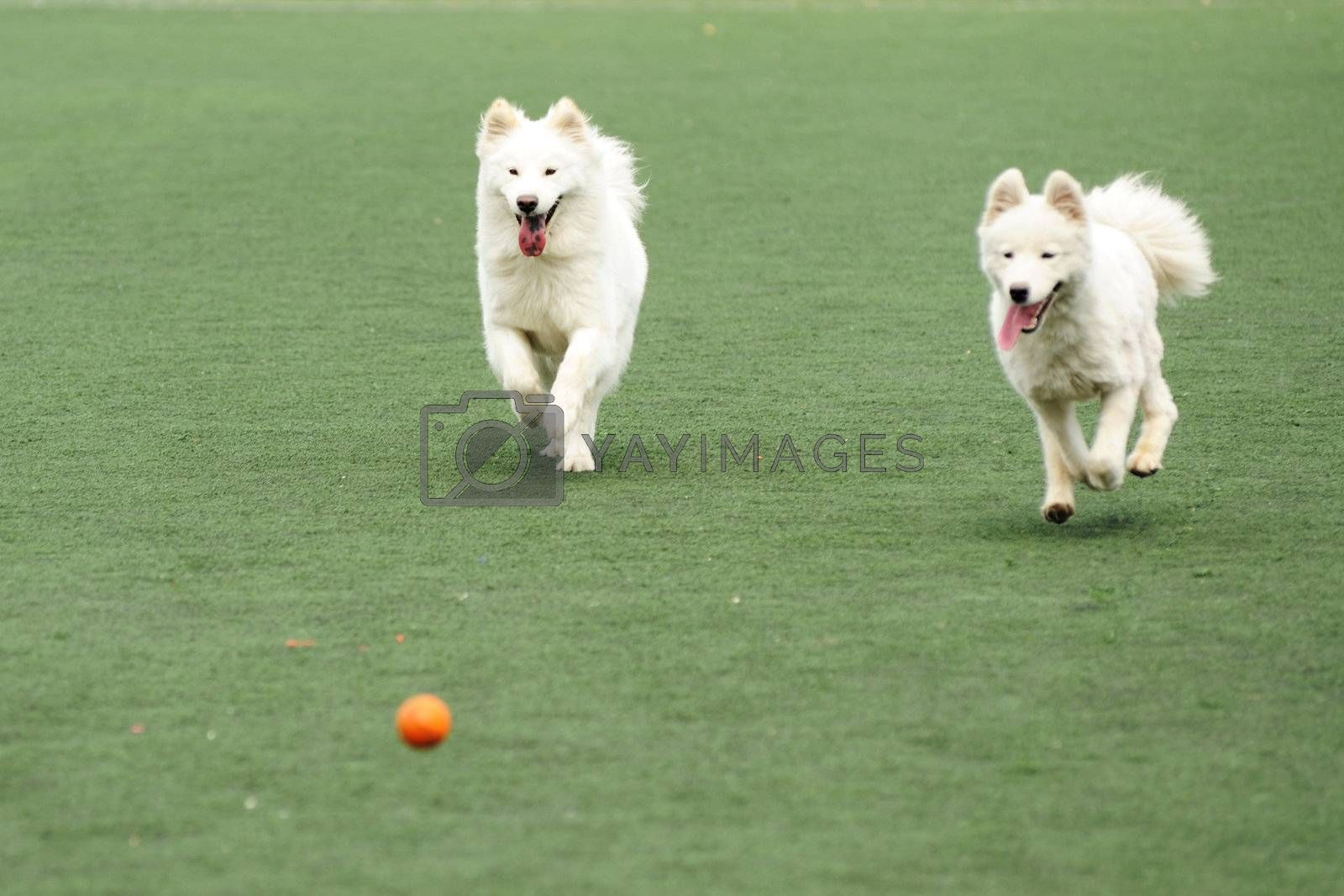 Two dogs running and chasing a ball on the playground