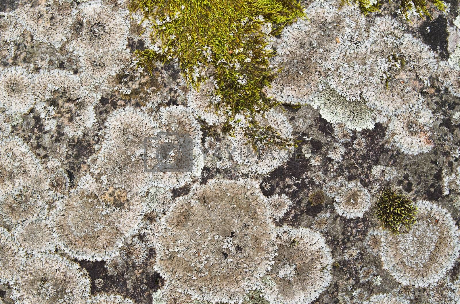 Royalty free image of Close up a lichen on a stone, a background by breeze09