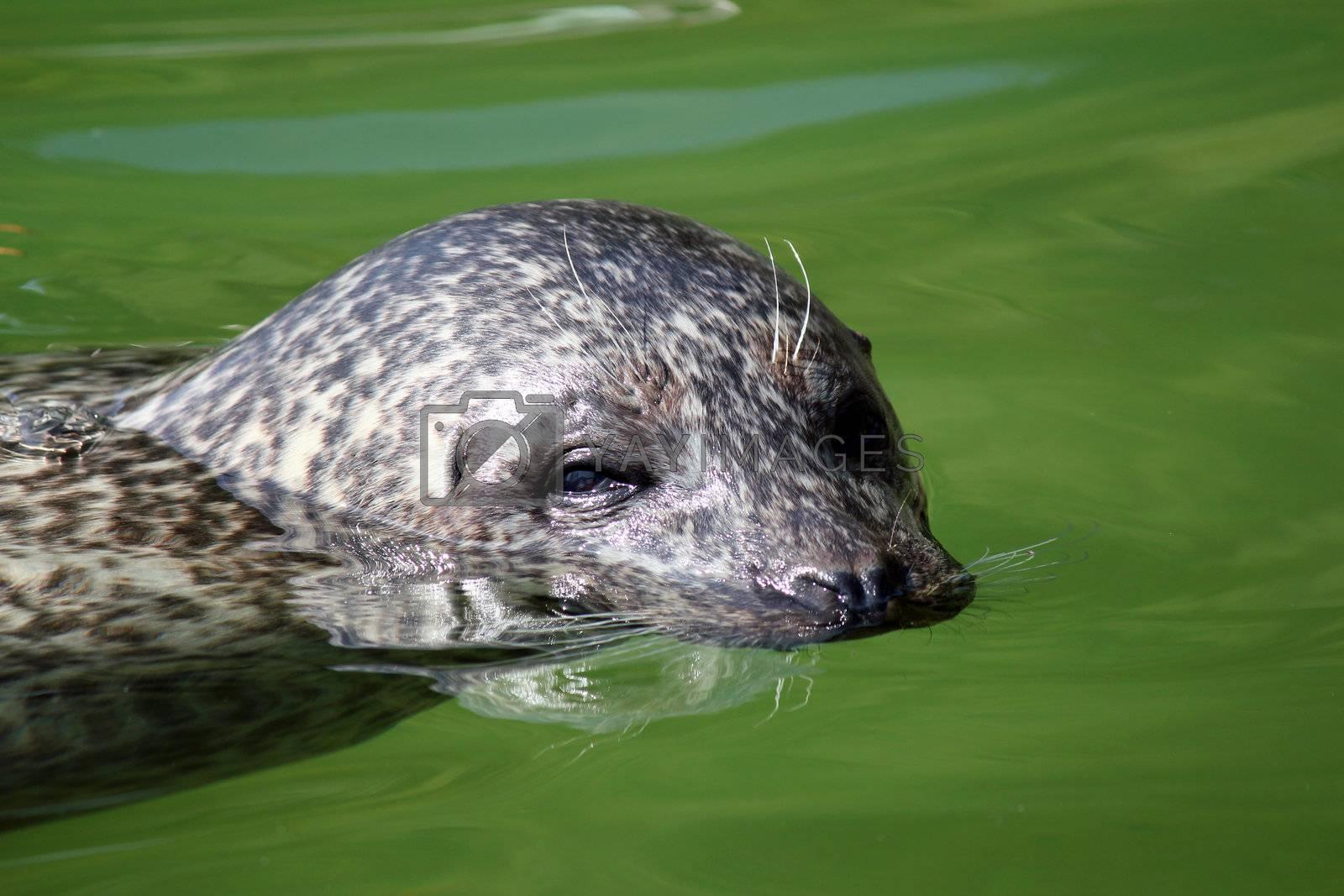 seal swimming portrait wildlife scene