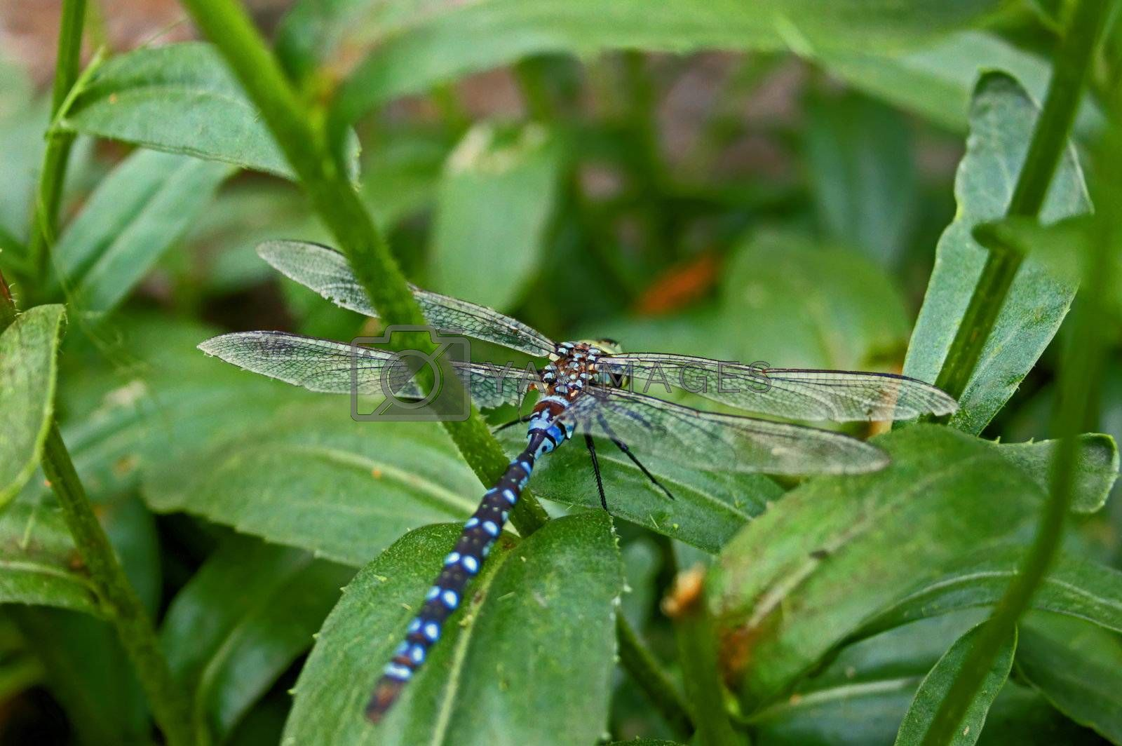 Close-up view of a dragonfly resting on a daisie