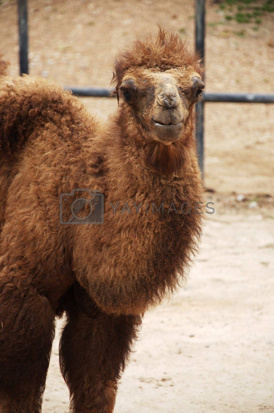 The Bactrian camel is a large even-toed ungulate native to the steppes of central Asia.