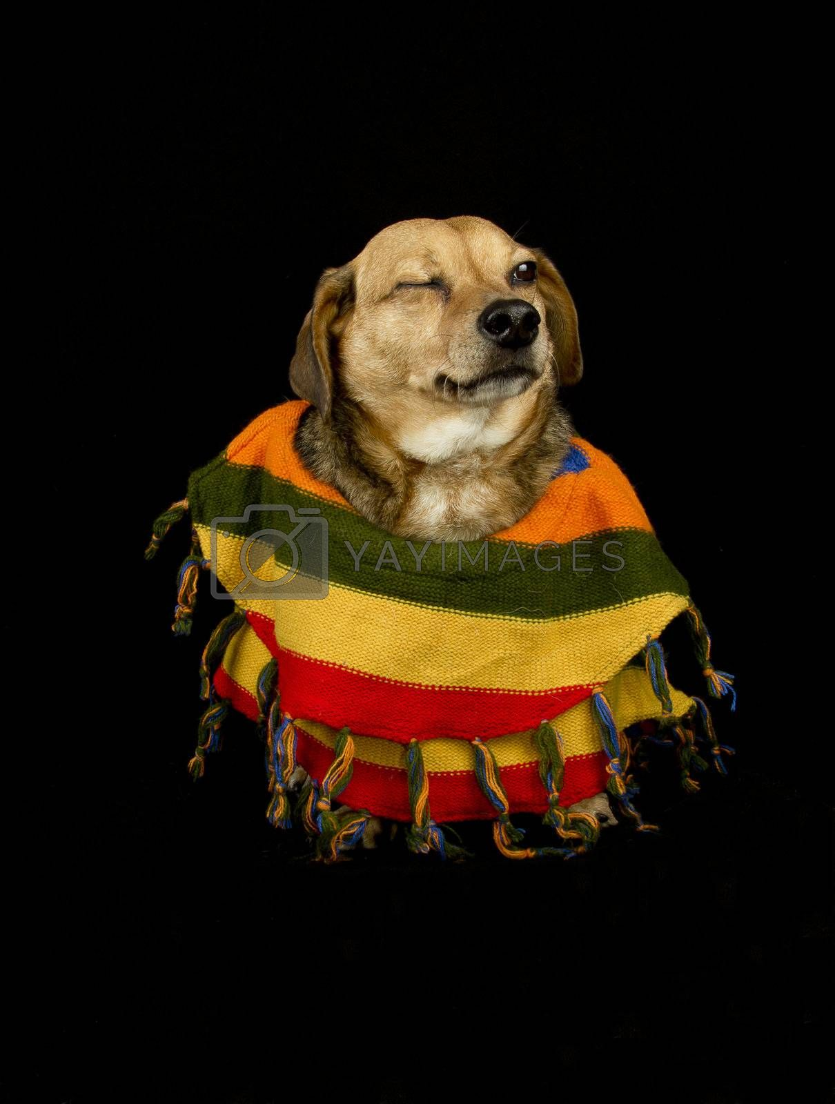 dog with Mexican sombrero and poncho give wink