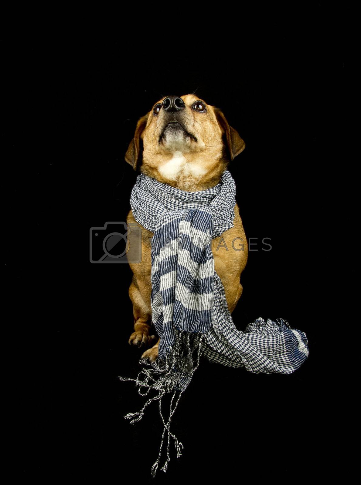 a little dachshund dog with scarf