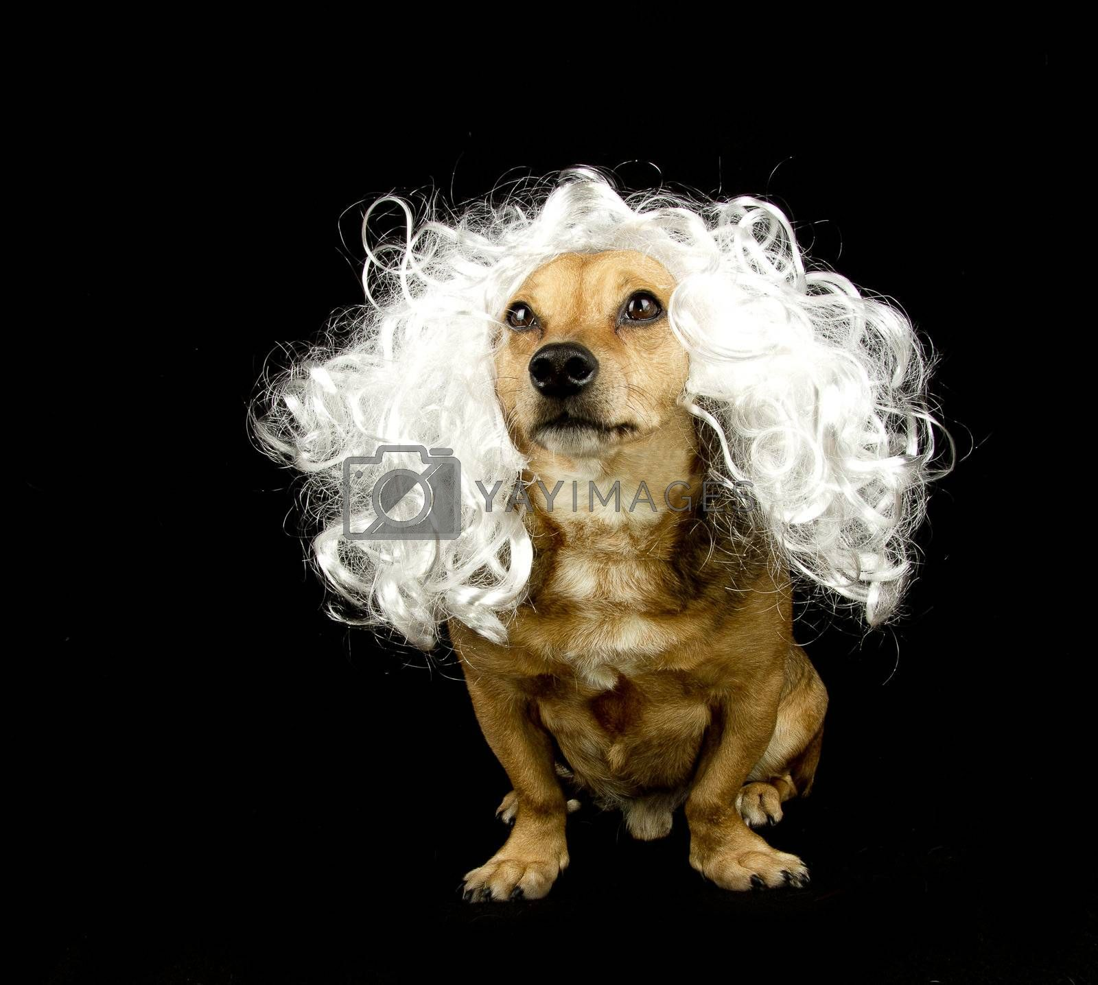 a little dog with the hair white