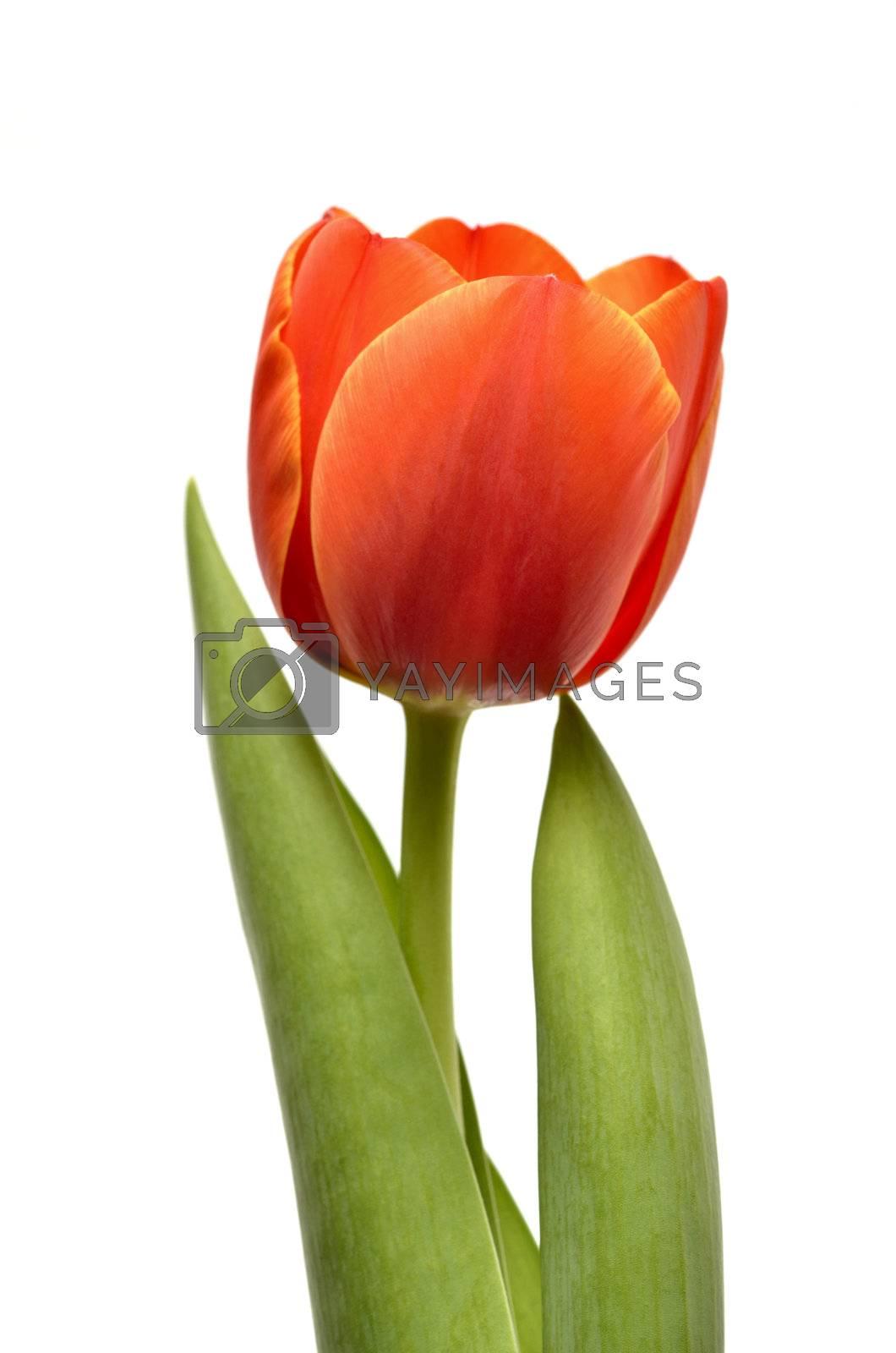 Tulip isolated on white background