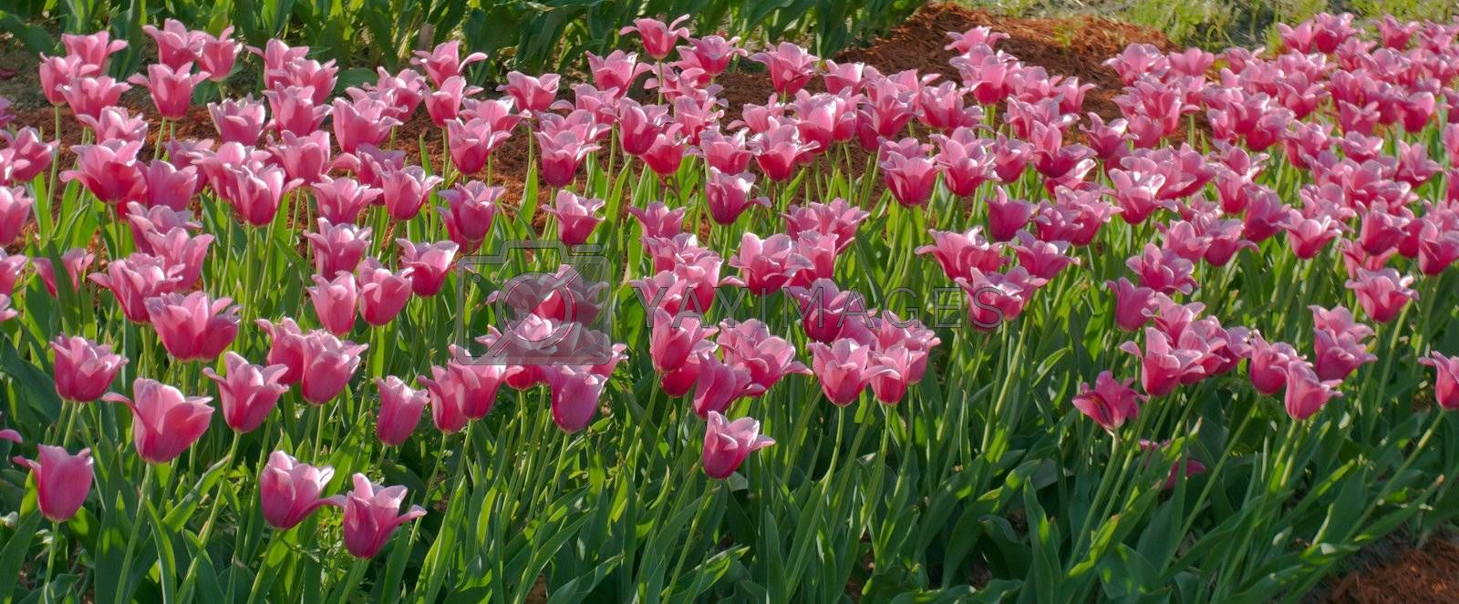 purple tulips spring flower bed