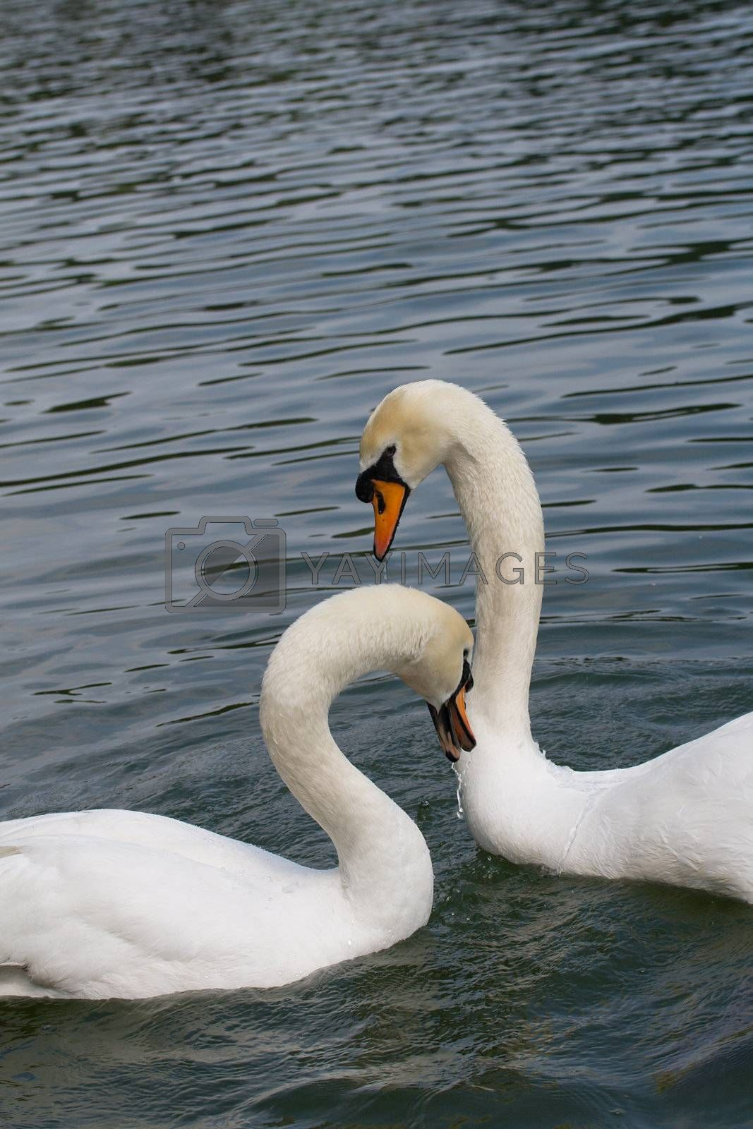 two swans in love, isolated on white