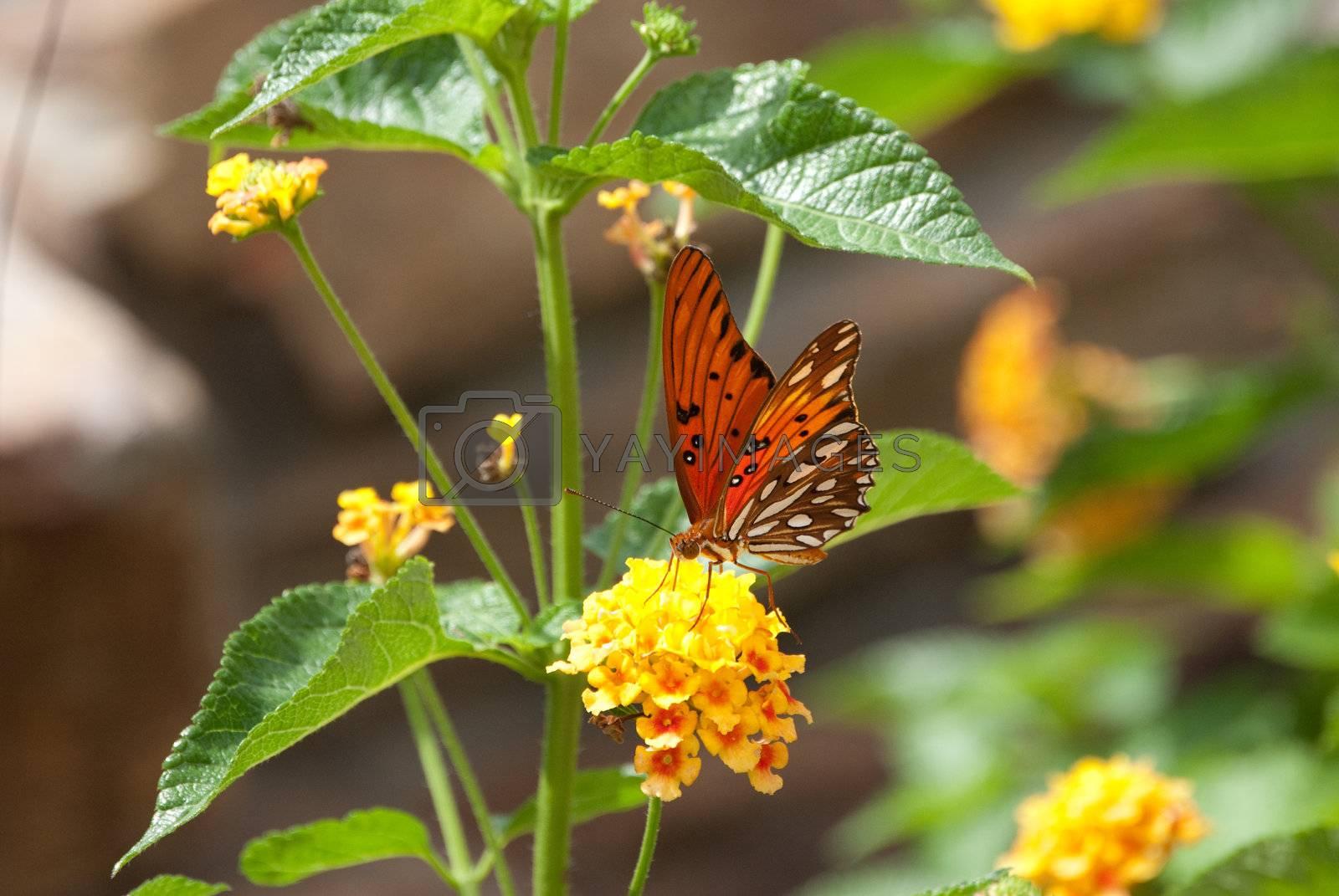 Beautiful monarch butterfly on yellow lantana.
