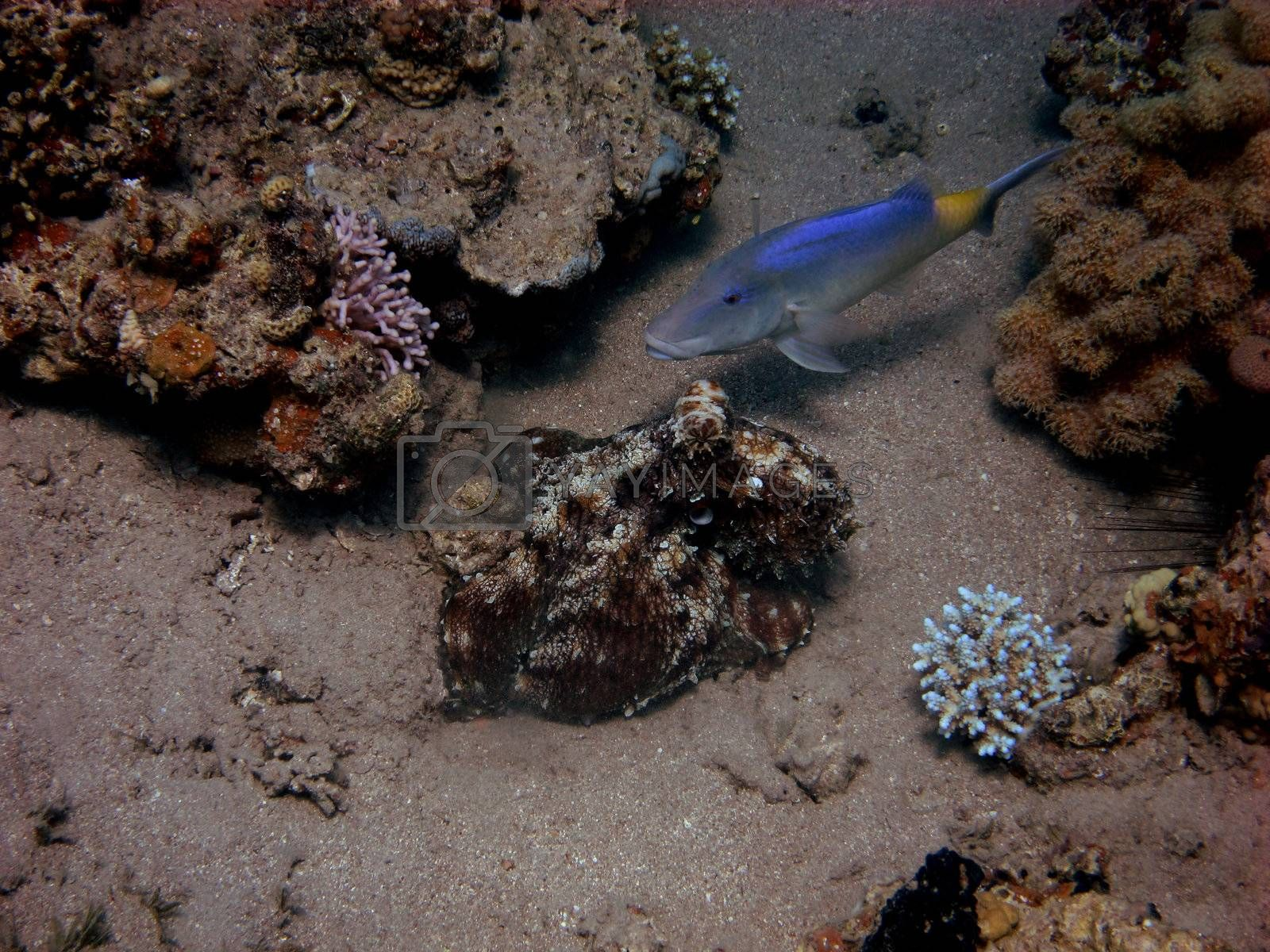 reef octopus red and blue fish on seabed