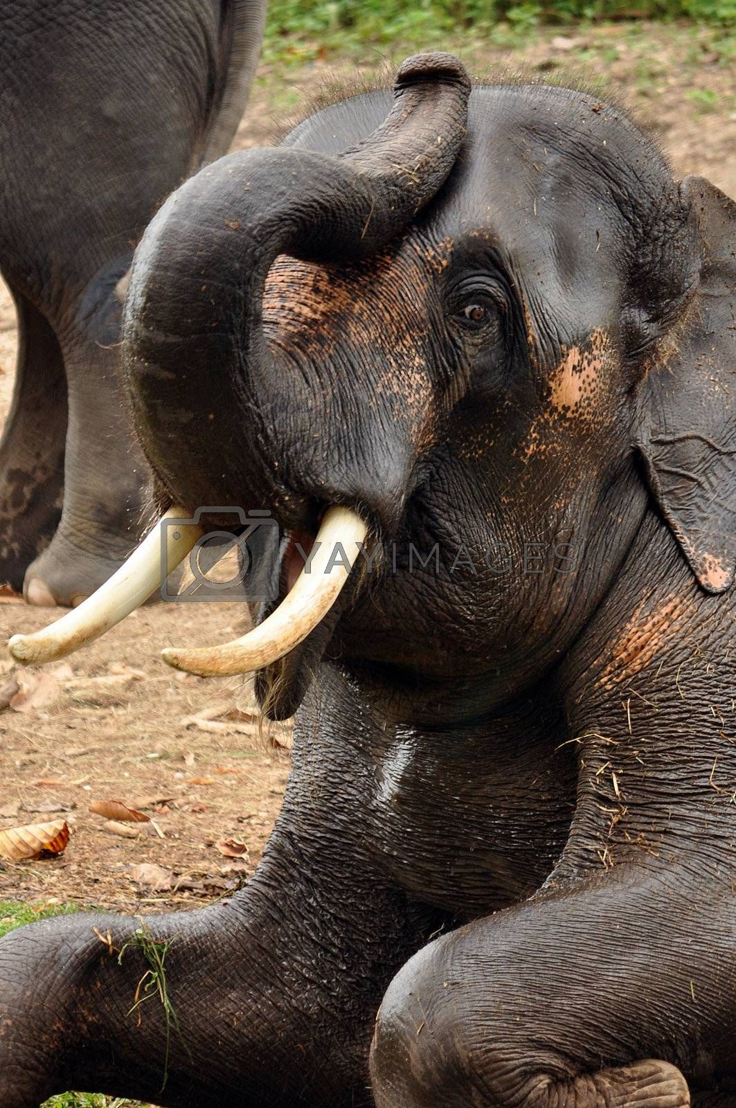 Asian elephants are rather long-lived, with a maximum recorded life span of 86 years.