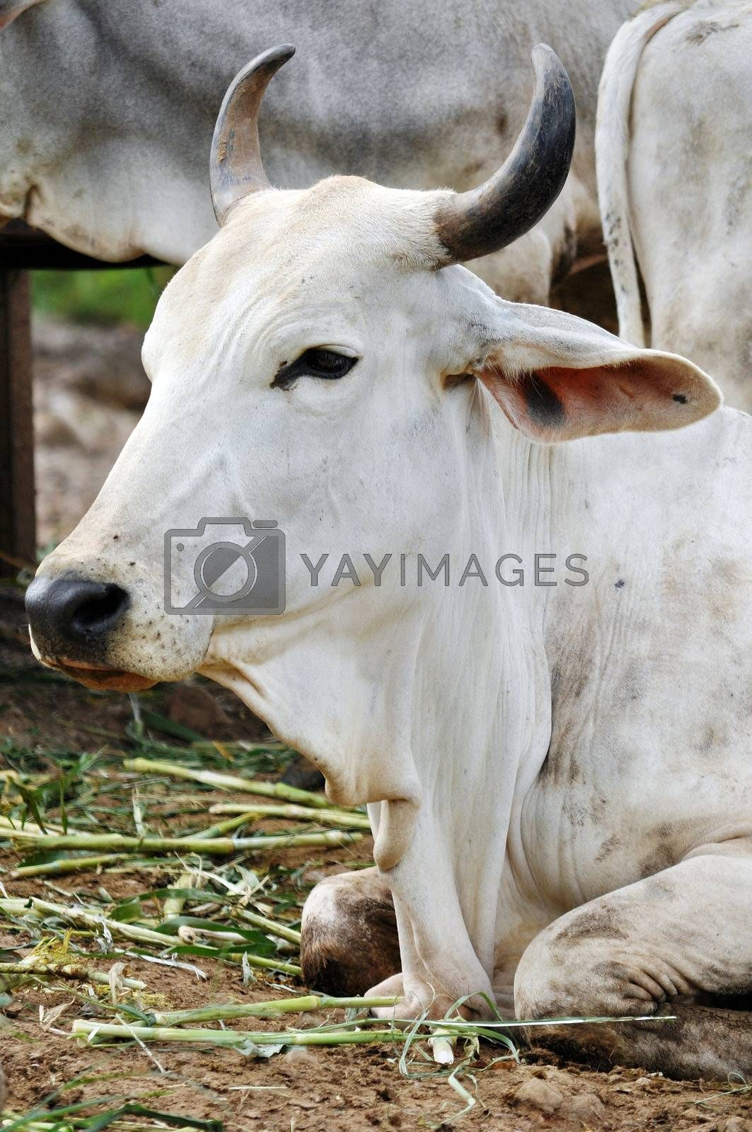 The American Brahman has a distinct large hump over the top of the shoulder and neck, and a loose flap of skin (dewlap) hanging from the neck.