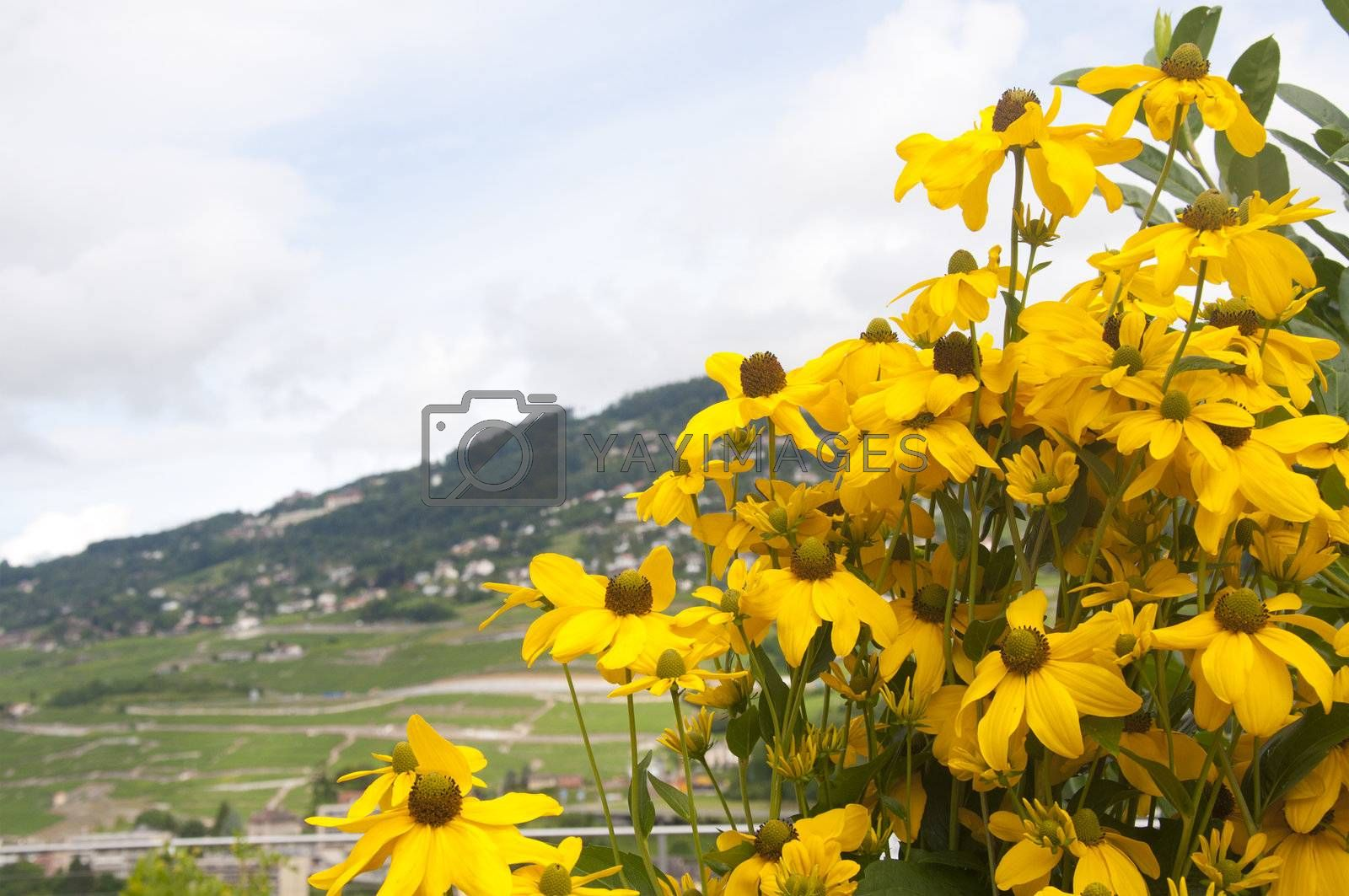 Black-eyed Susans against a beautiful countryside in Switzerland