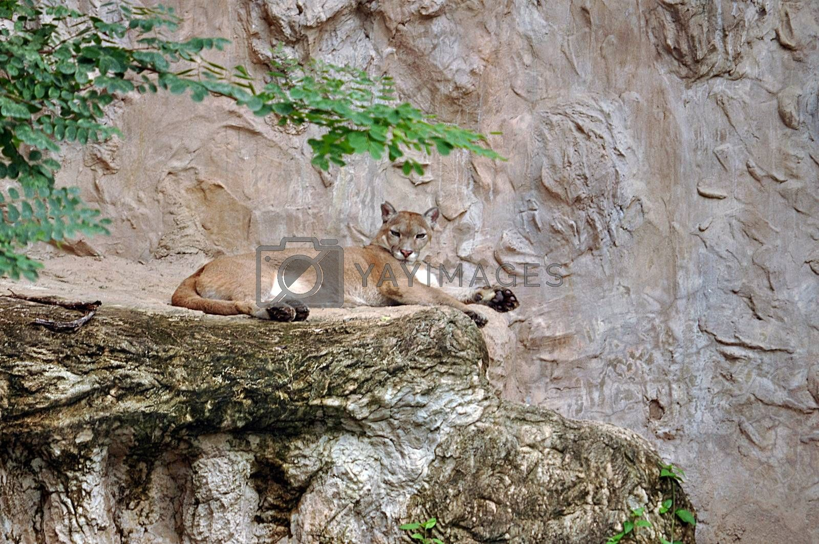 The cougar (Puma concolor), also known as puma, mountain lion, mountain cat, catamount or panther, depending on the region, is a mammal of the family Felidae, native to the Americas.