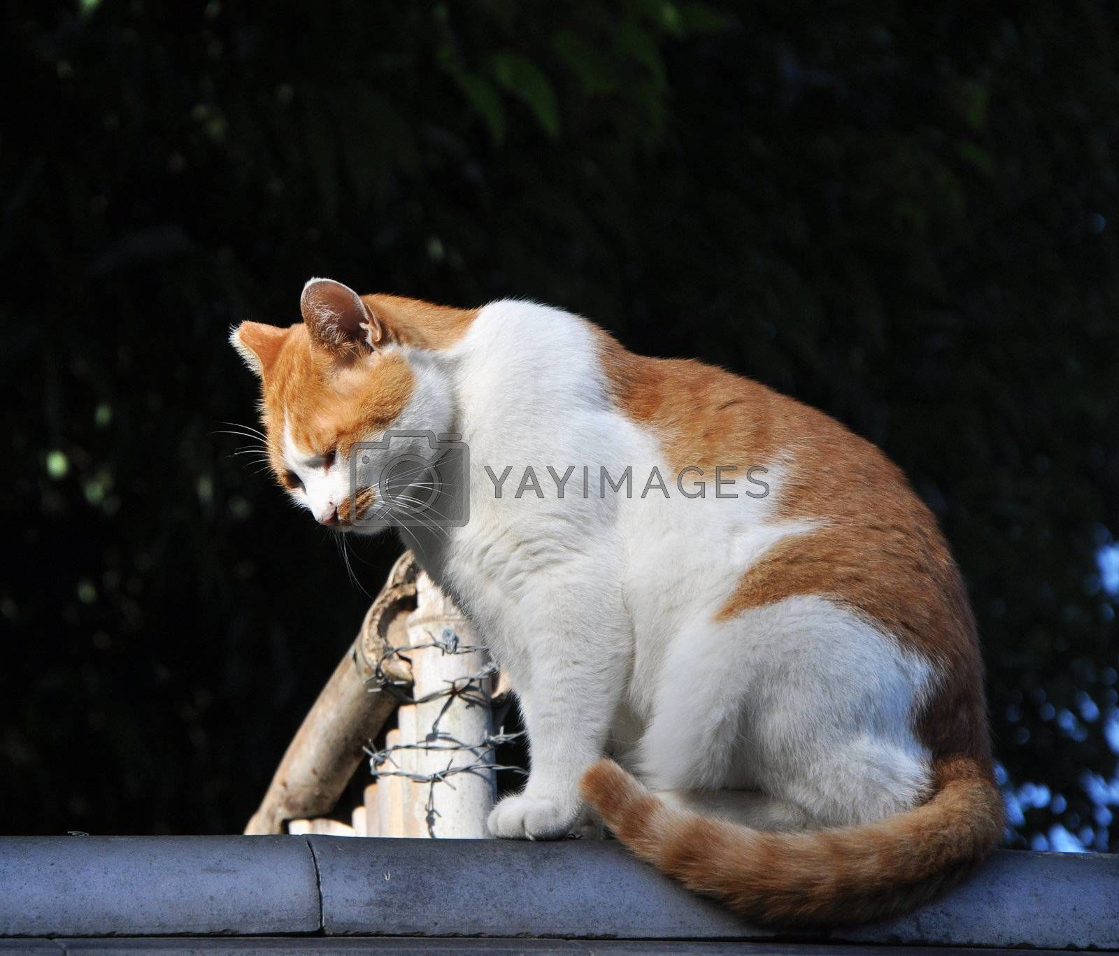 Cat on the roof in Kyoto, Japan