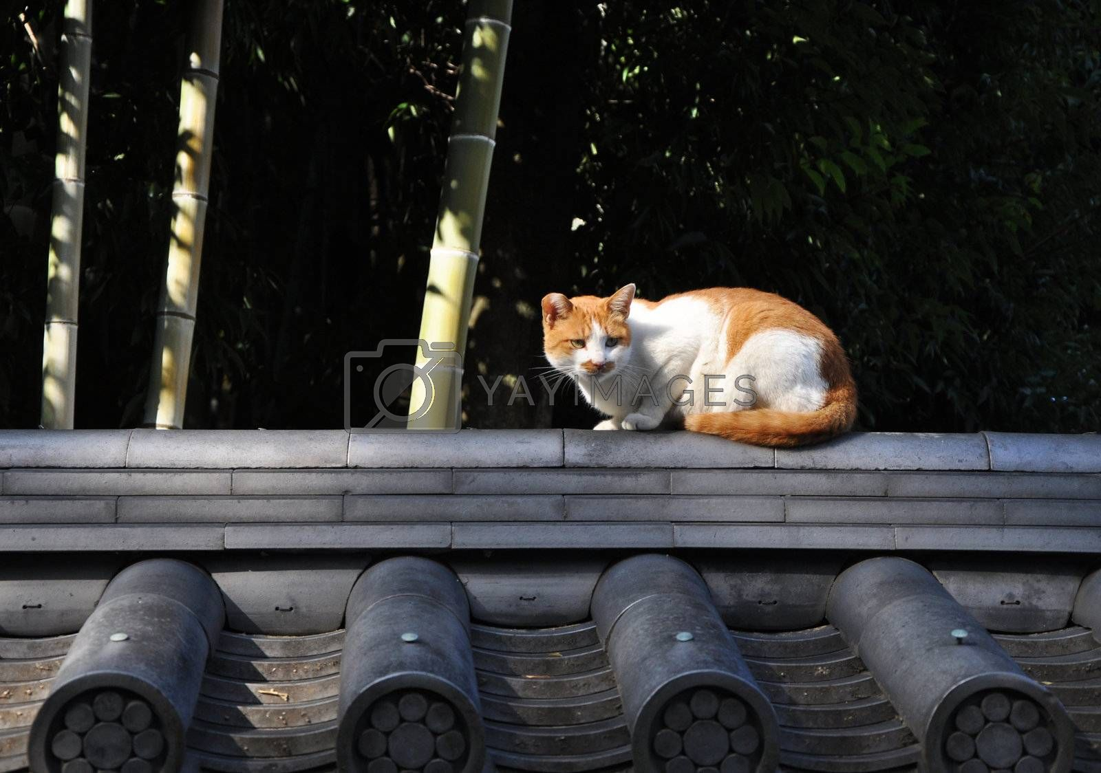 Stray cat on the roof in Kyoto, Japan