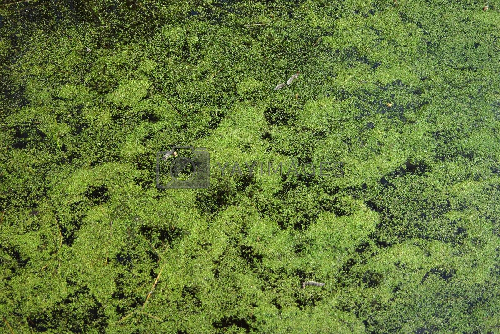 Swamp water in pond with duckweed as background