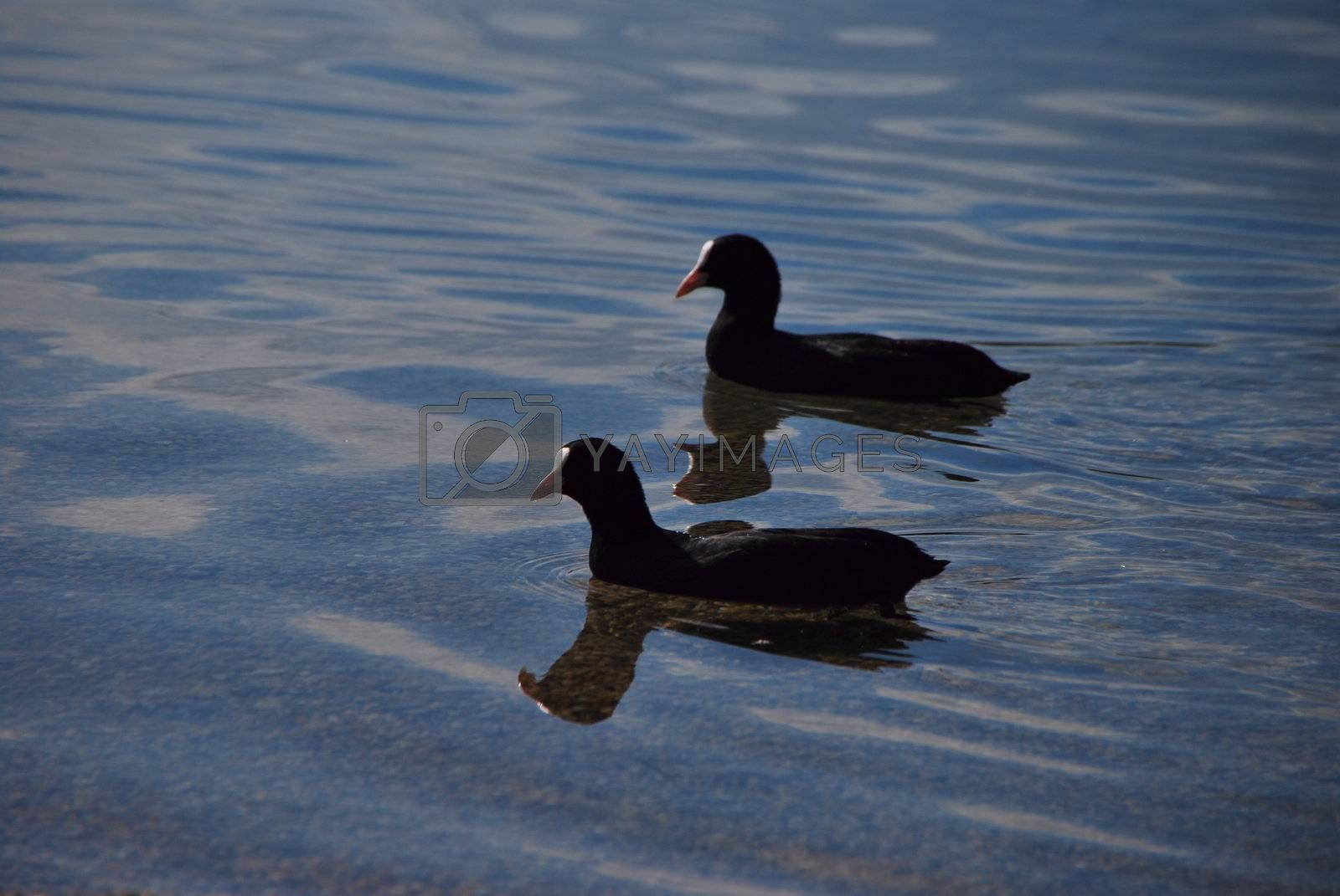 two ducks in the water with shadow