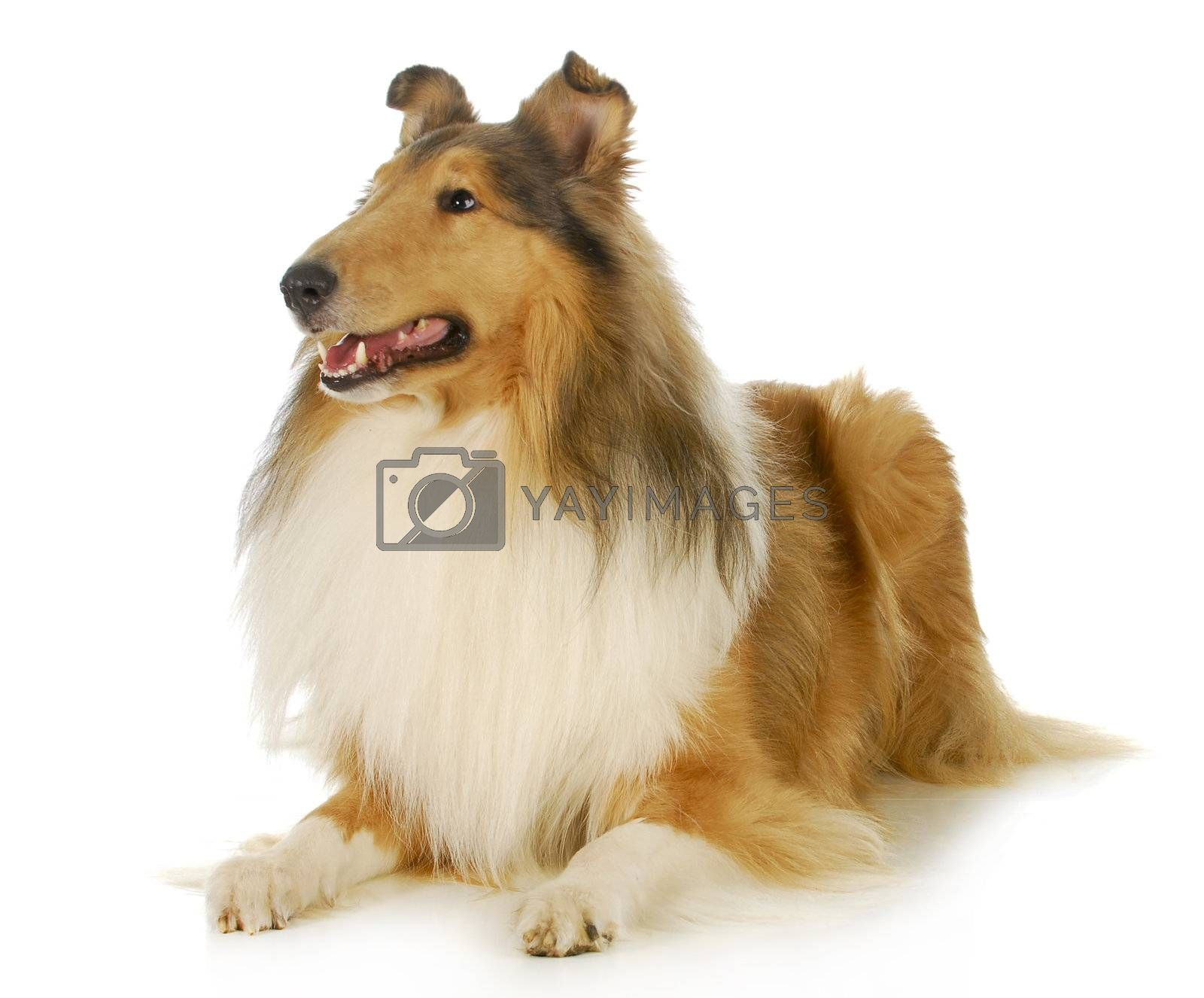 collie - rough coated collie laying down looking up isolated on white background