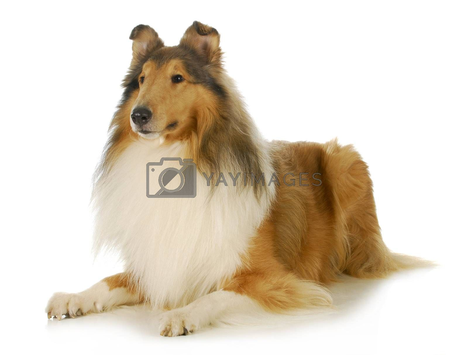 collie - rough coated collie laying down isolated on white background