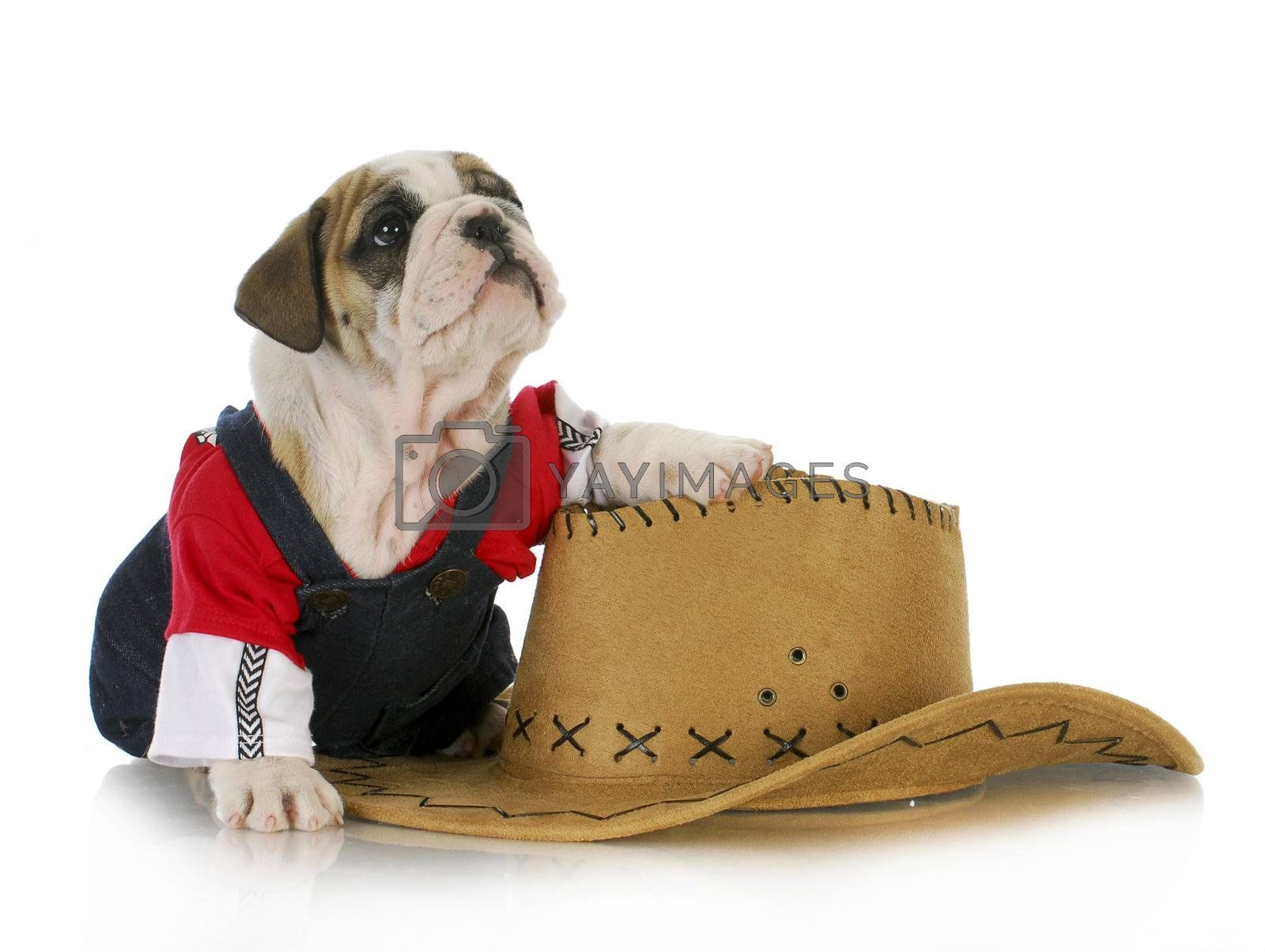 cute puppy - english bulldog dressed up like a country dog with paw on western hat isolated on white background
