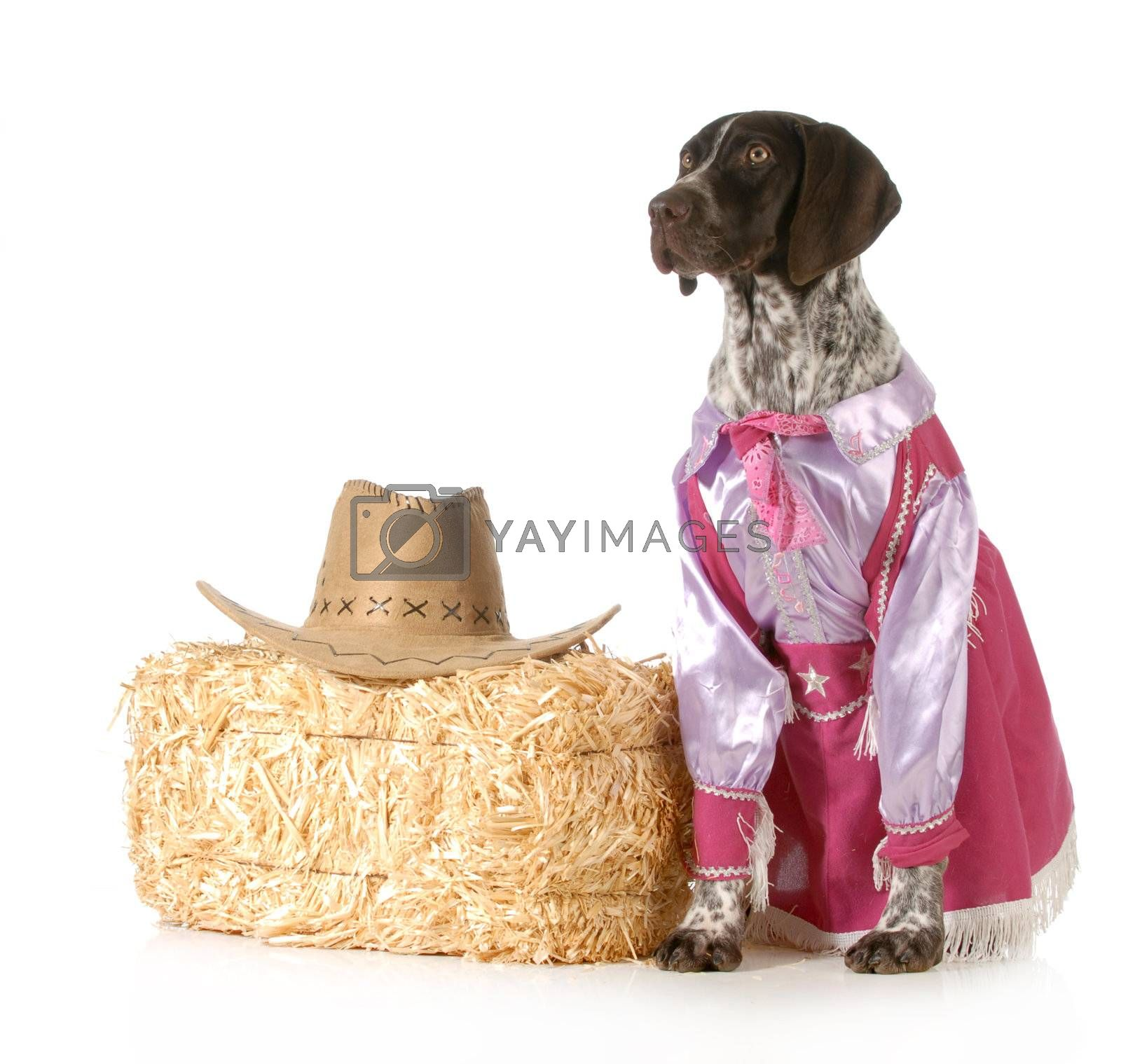 country dog - german shorthaired pointed female dressed up like a cowgirl on white background