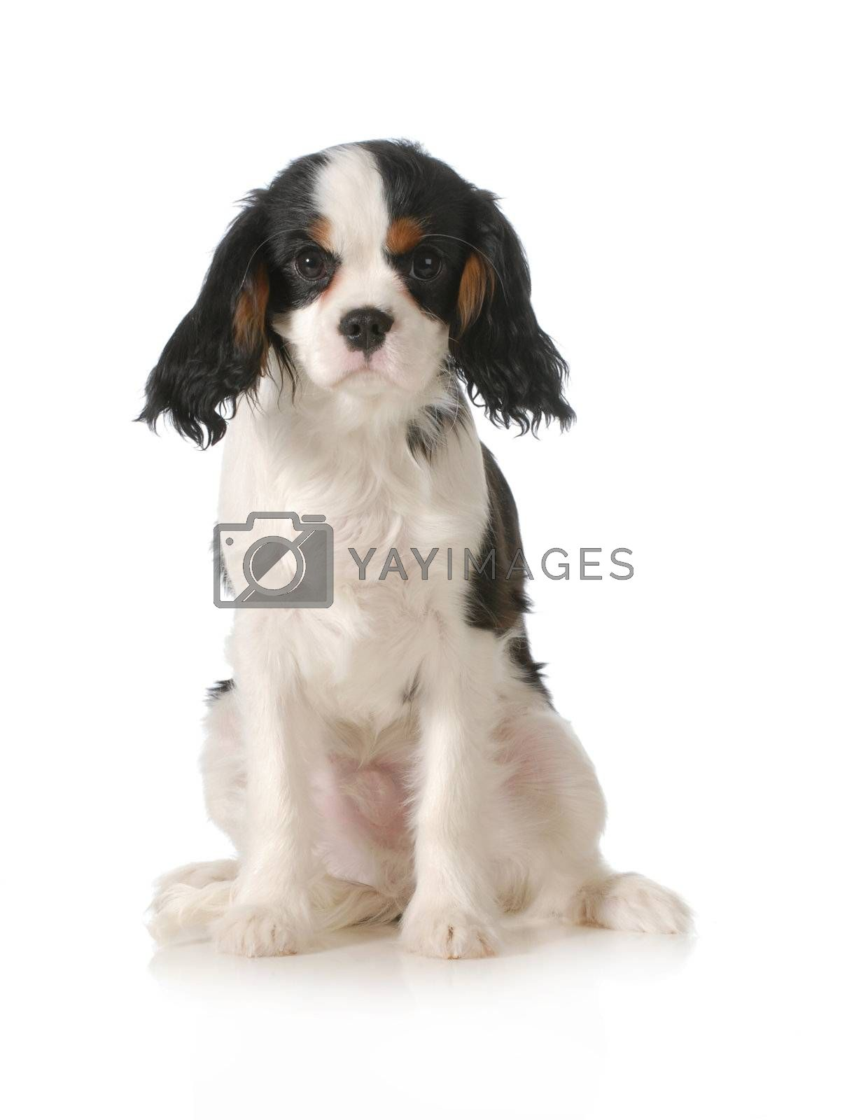 cavalier king charles spaniel male puppy sitting looking at viewer on white background - five months old