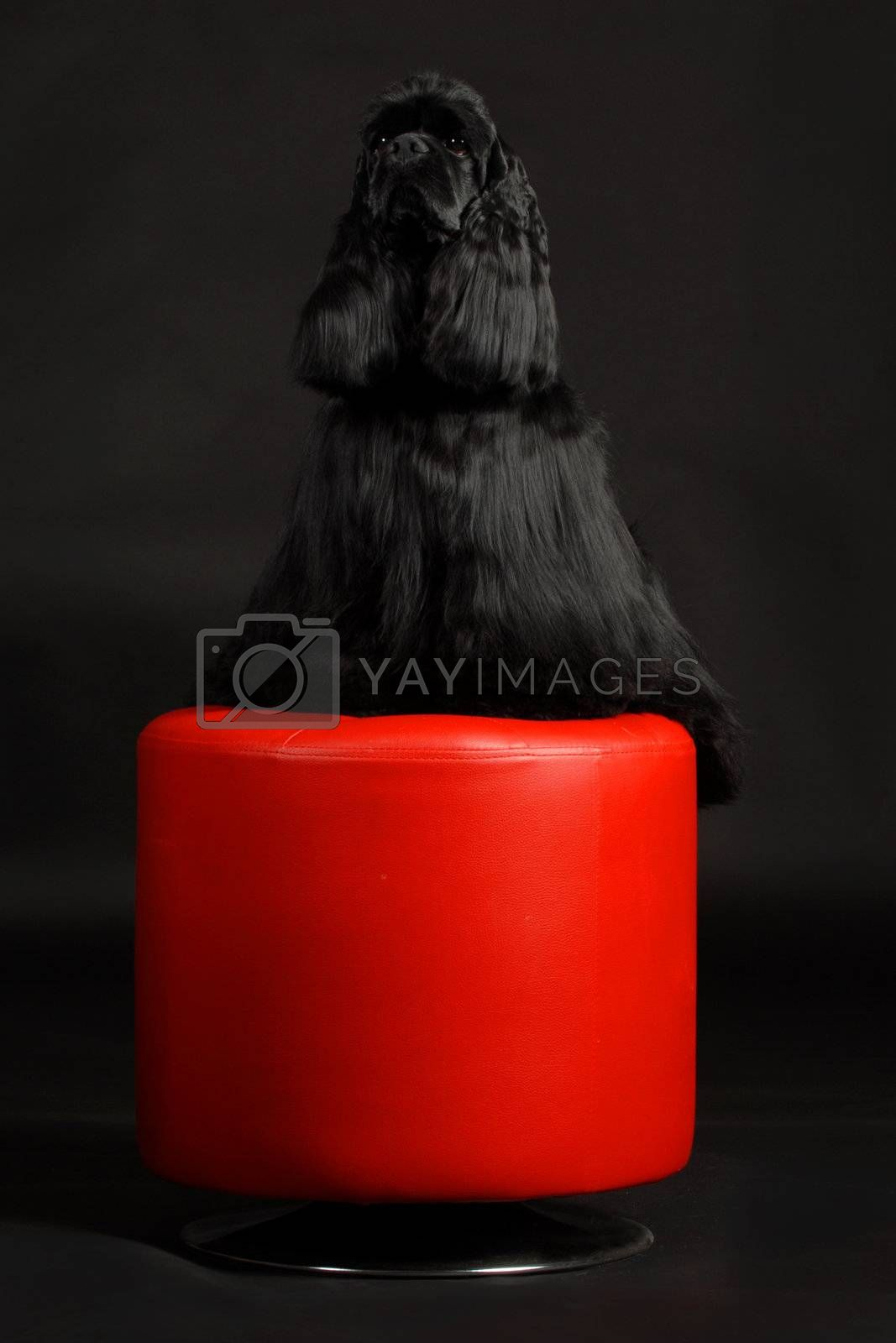 cocker spaniel sitting on a red stool on a black background